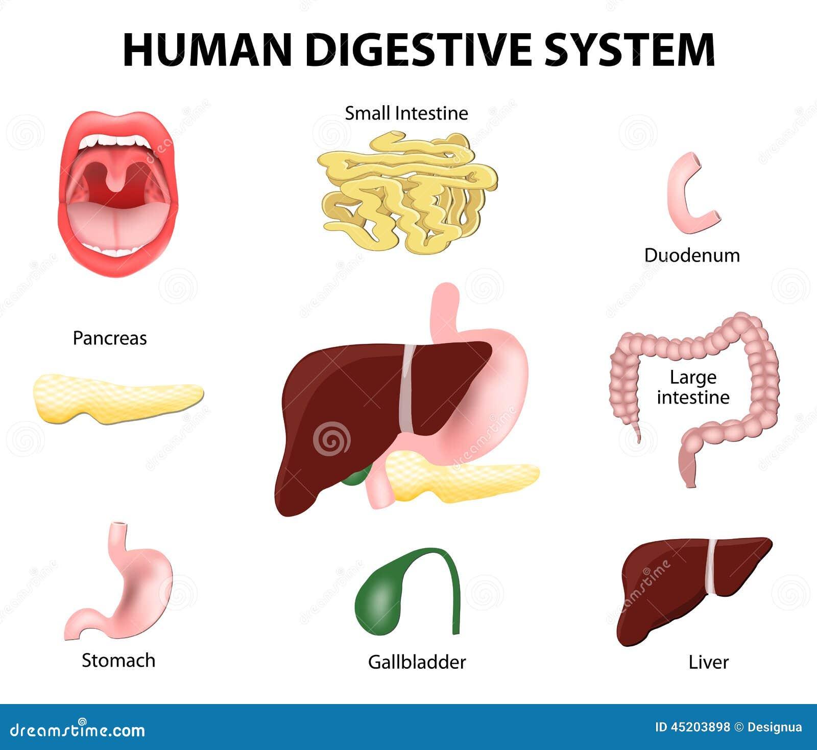 Menschliches Verdauungssystem Set Vektor Abbildung - Illustration ...