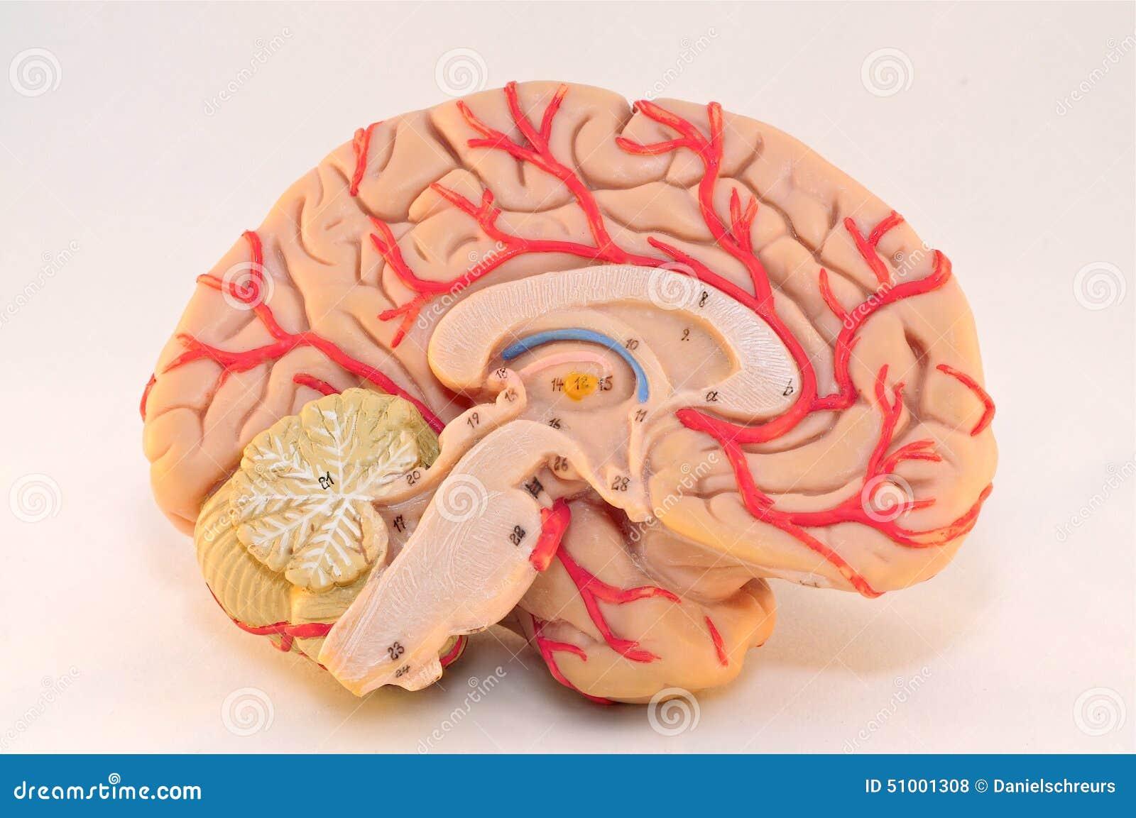 Menschliches Zerebrale Hemisphären-Anatomie-Modell (Mittelansicht ...