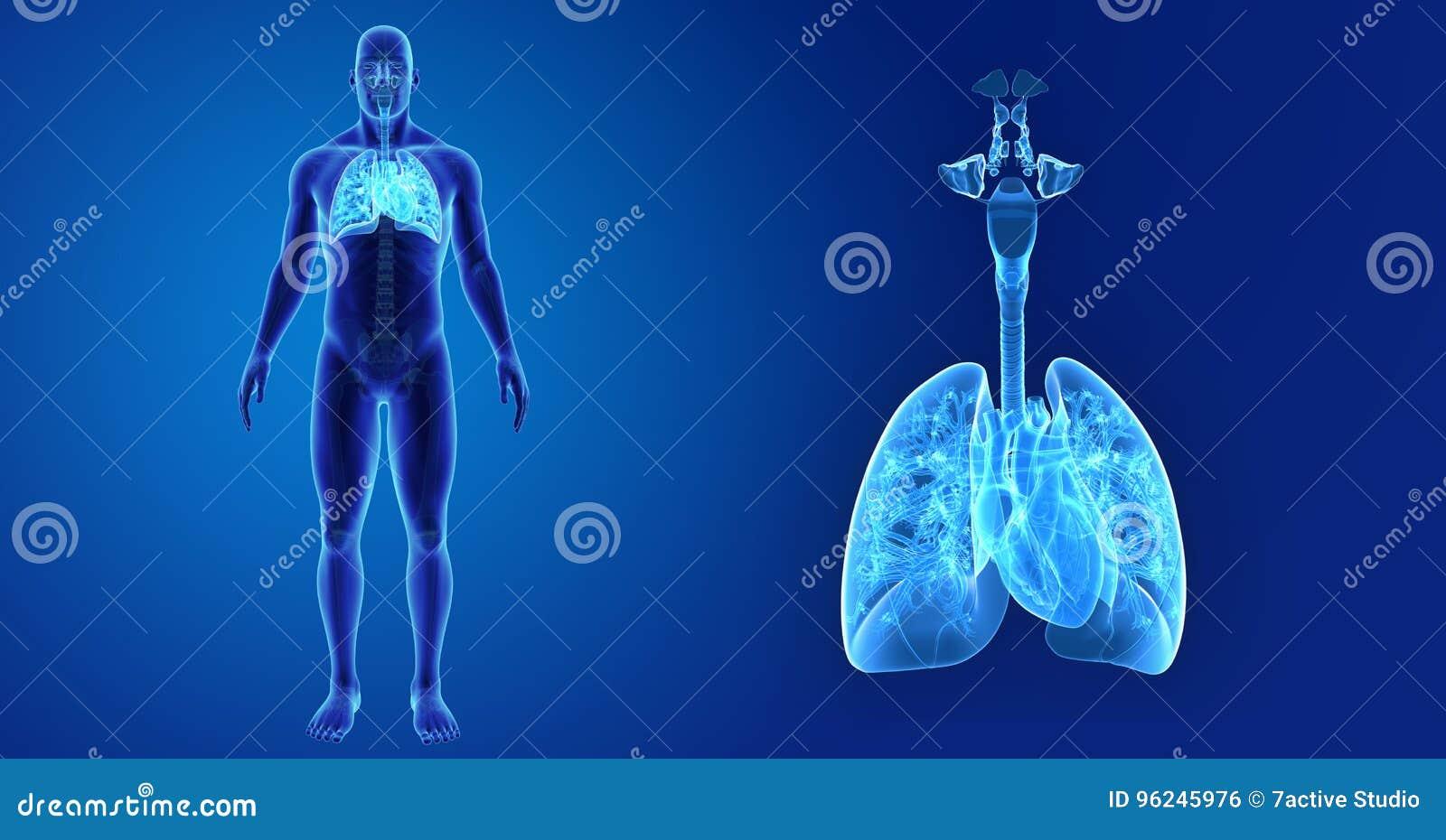 Menselijk Ademhalingssysteem en Hartgezoem met Skelet Voorafgaande mening