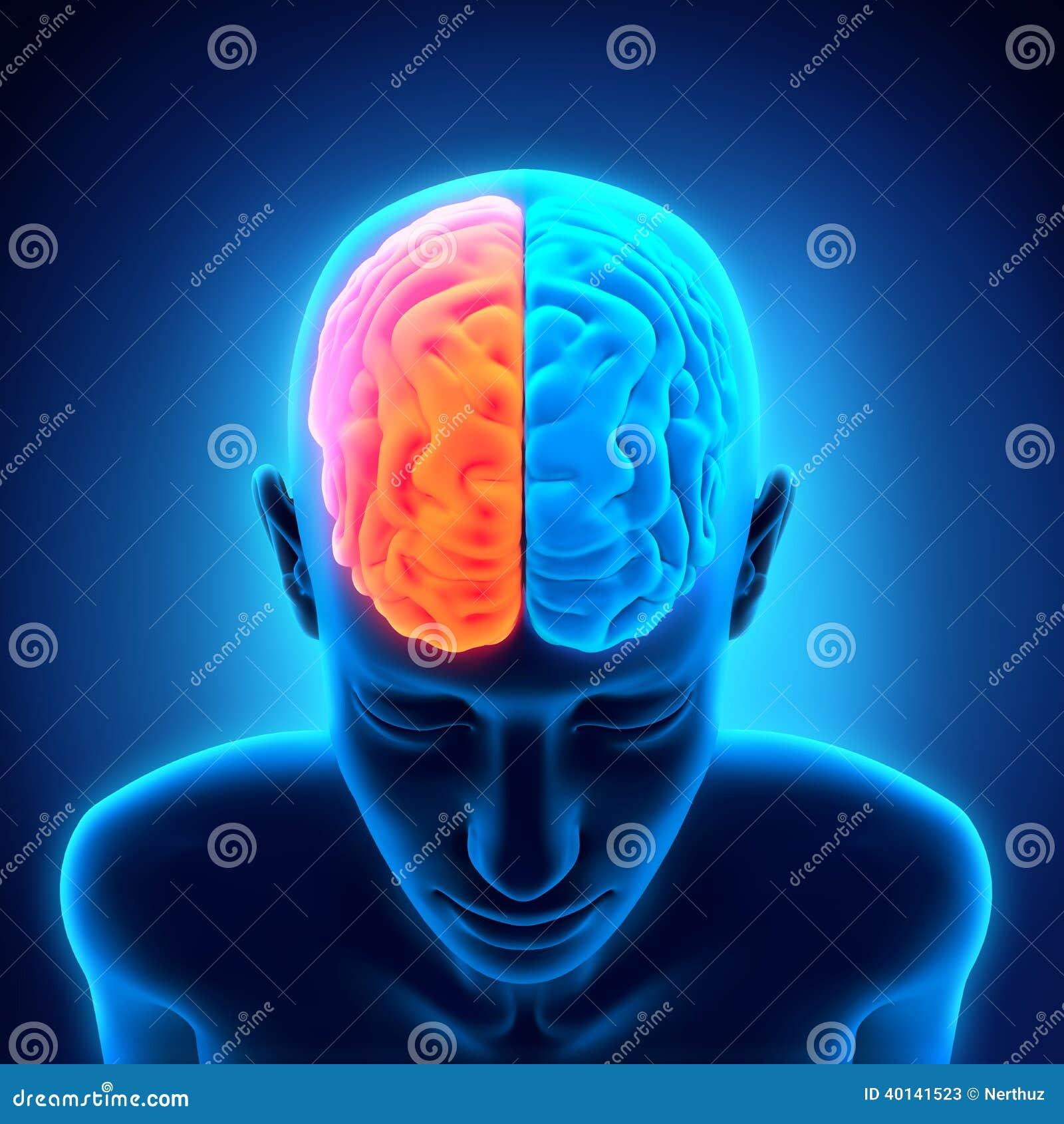 Menselijk Brain Anatomy
