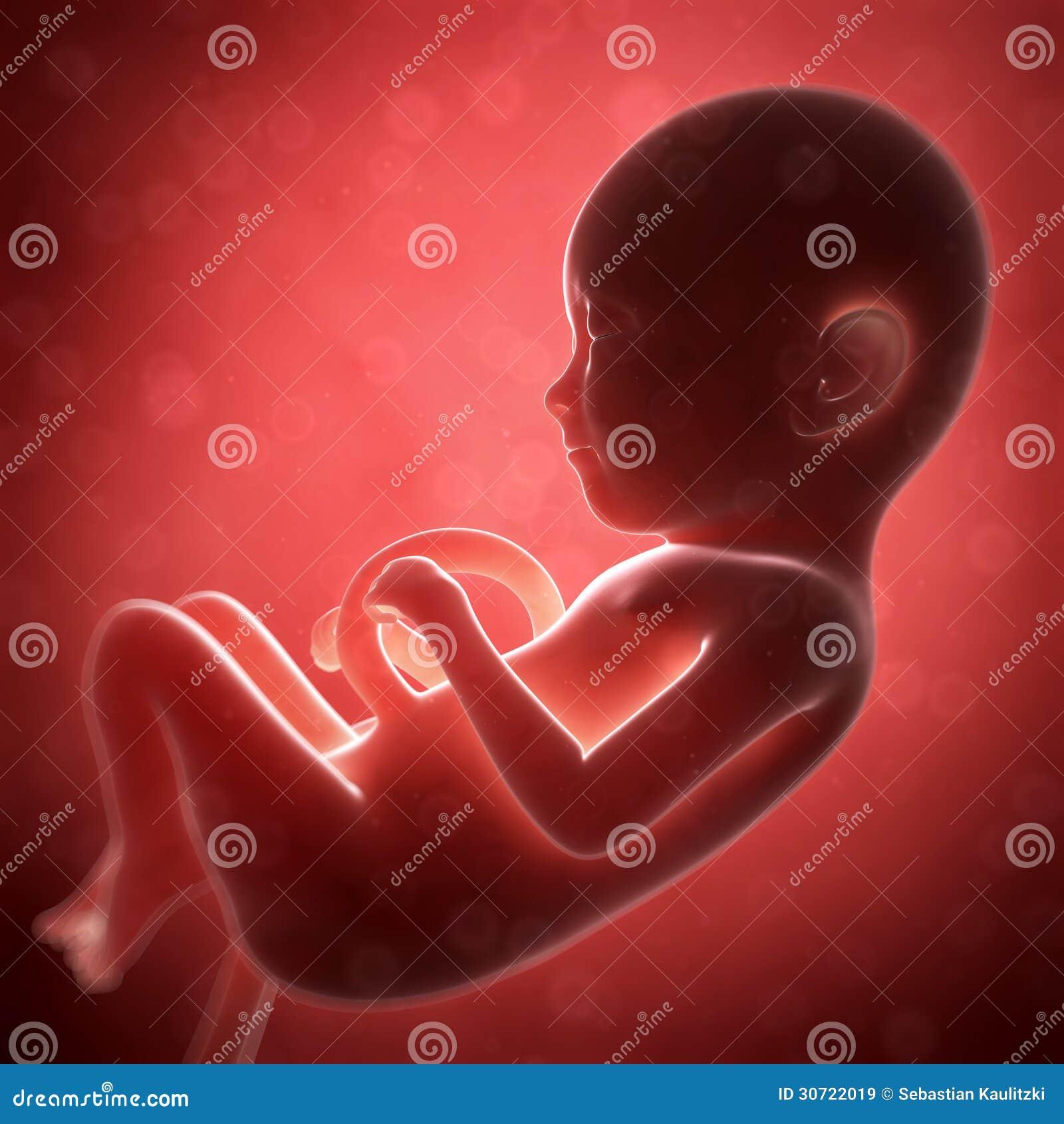 Menselijk foetus
