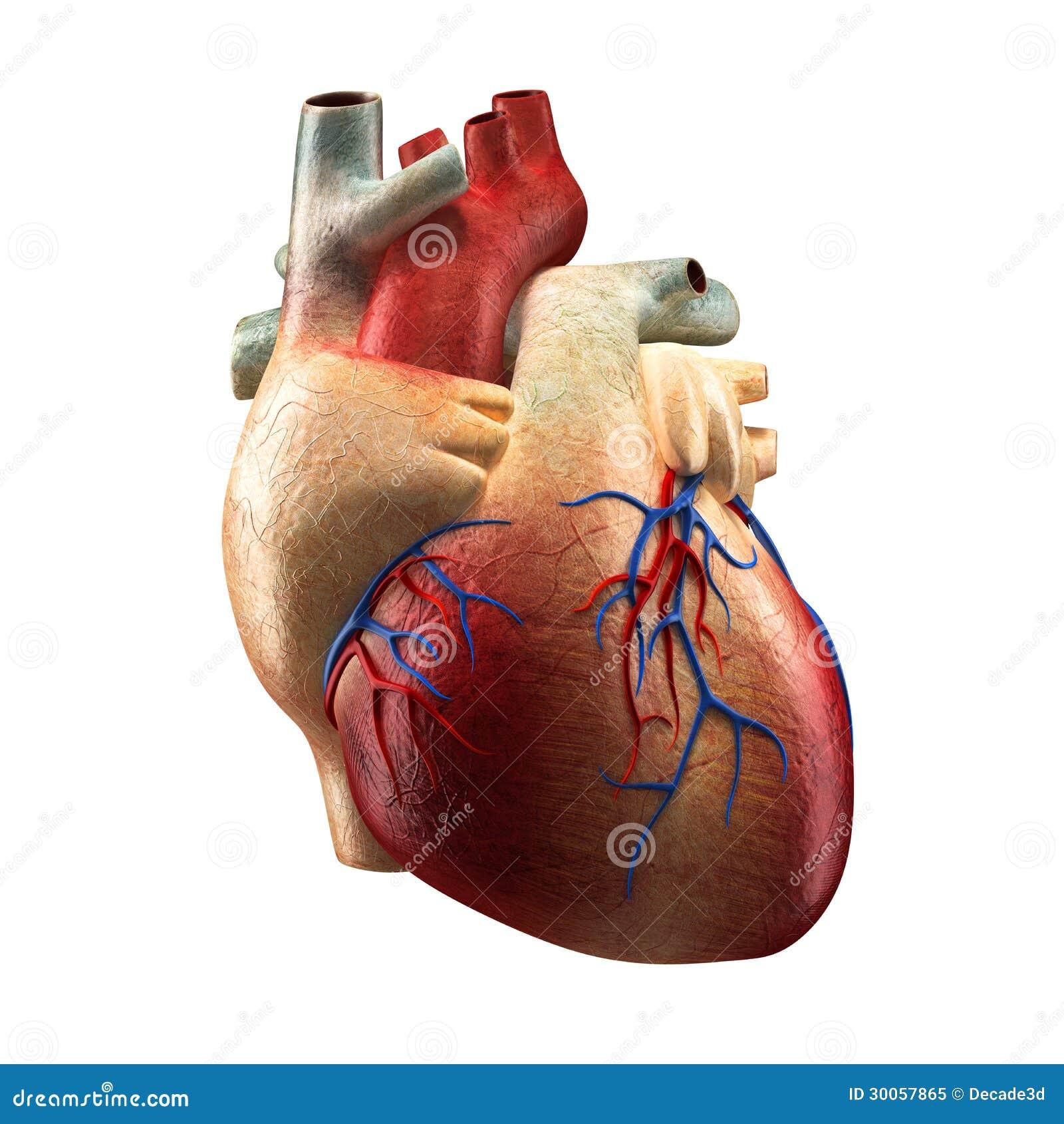 Echt Hart dat op wit wordt geïsoleerds - het Menselijke model van de Anatomie