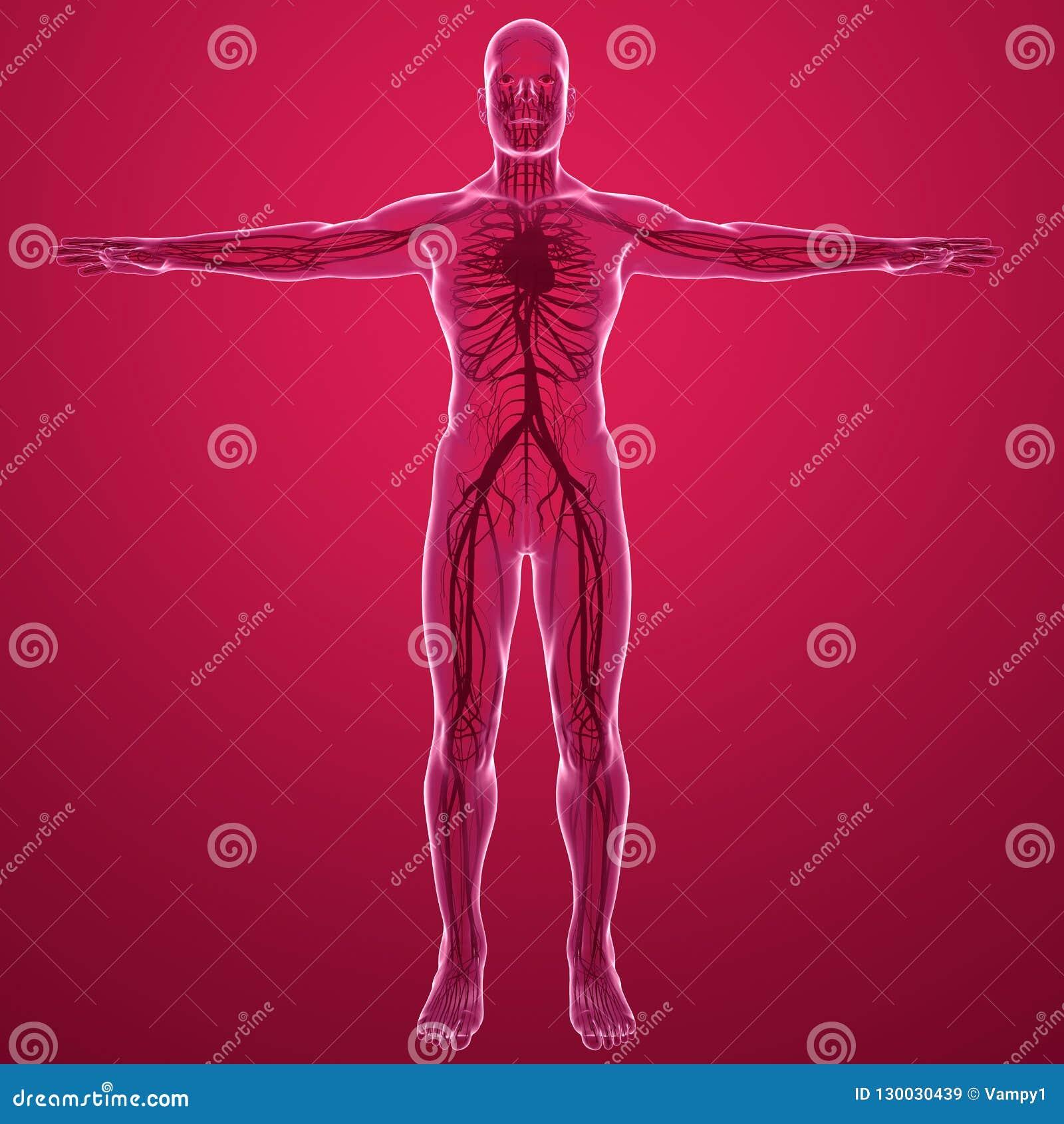 Menselijk lichaams x-ray mening van het vaatstelsel met hartslagaders en aders