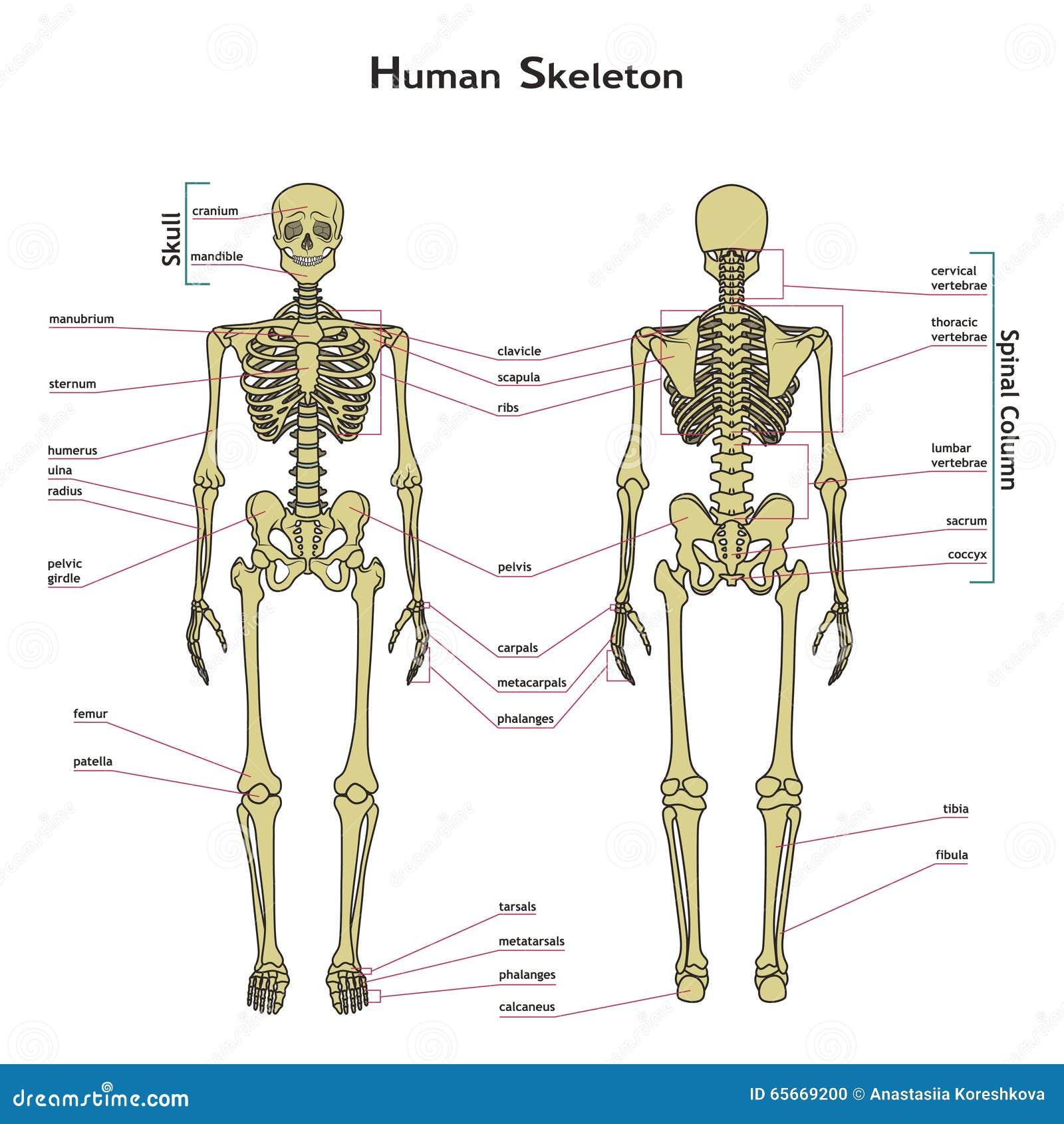menselijk skelet voor en achtermening met explanatations 65669200