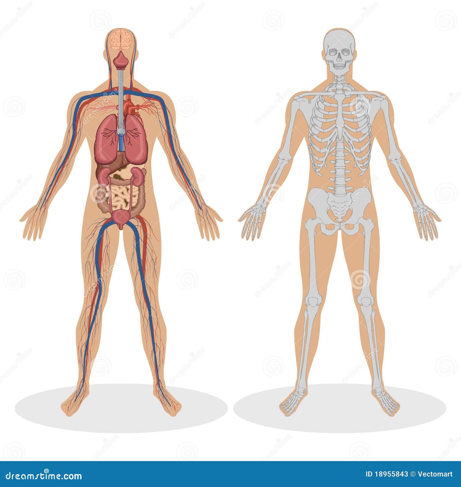 Menselijke Anatomie Van De Mens Vector Illustratie - Illustratie ...
