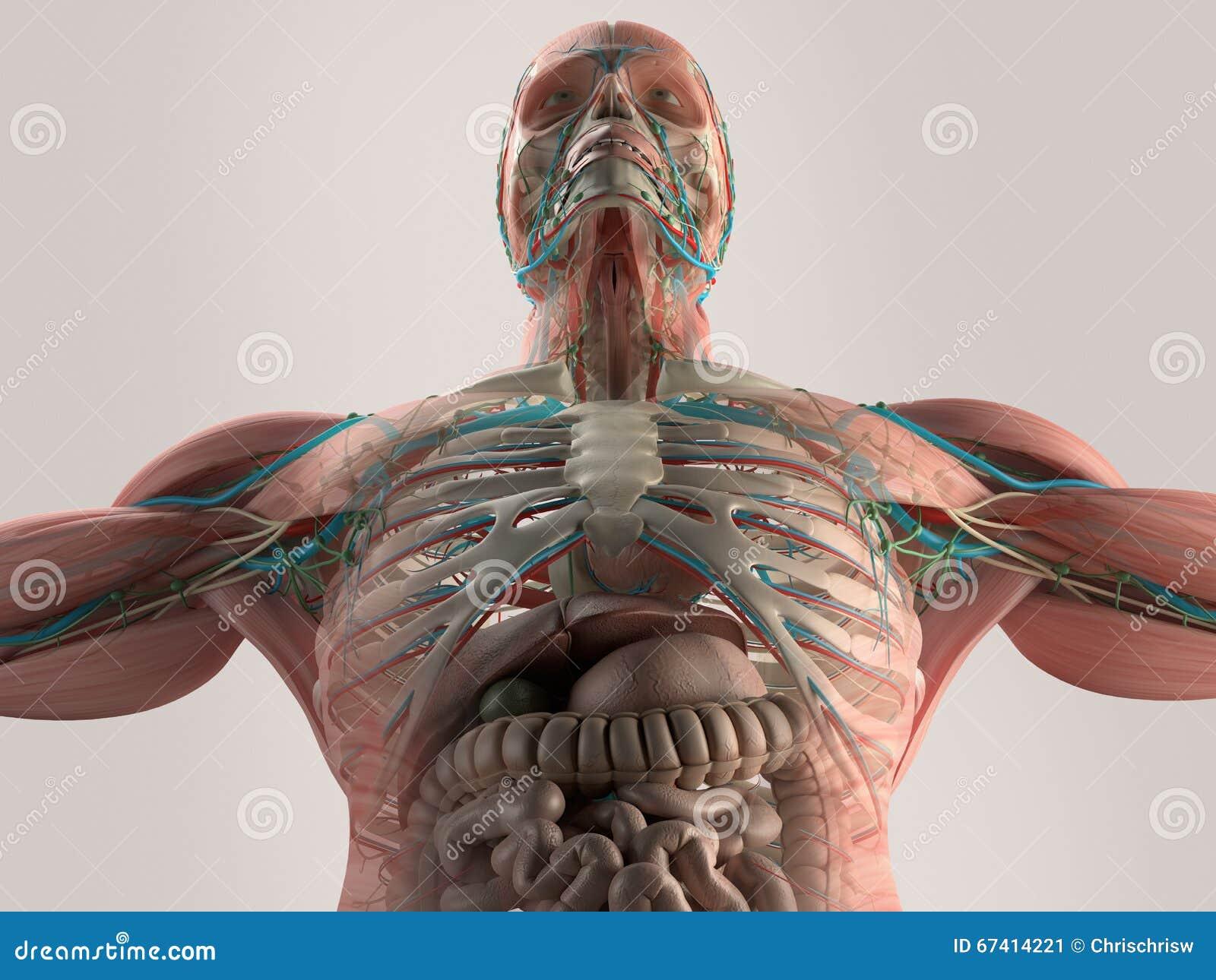 Menselijke anatomieborst vanuit lage invalshoek Beenstructuur aders spier Op duidelijke studioachtergrond