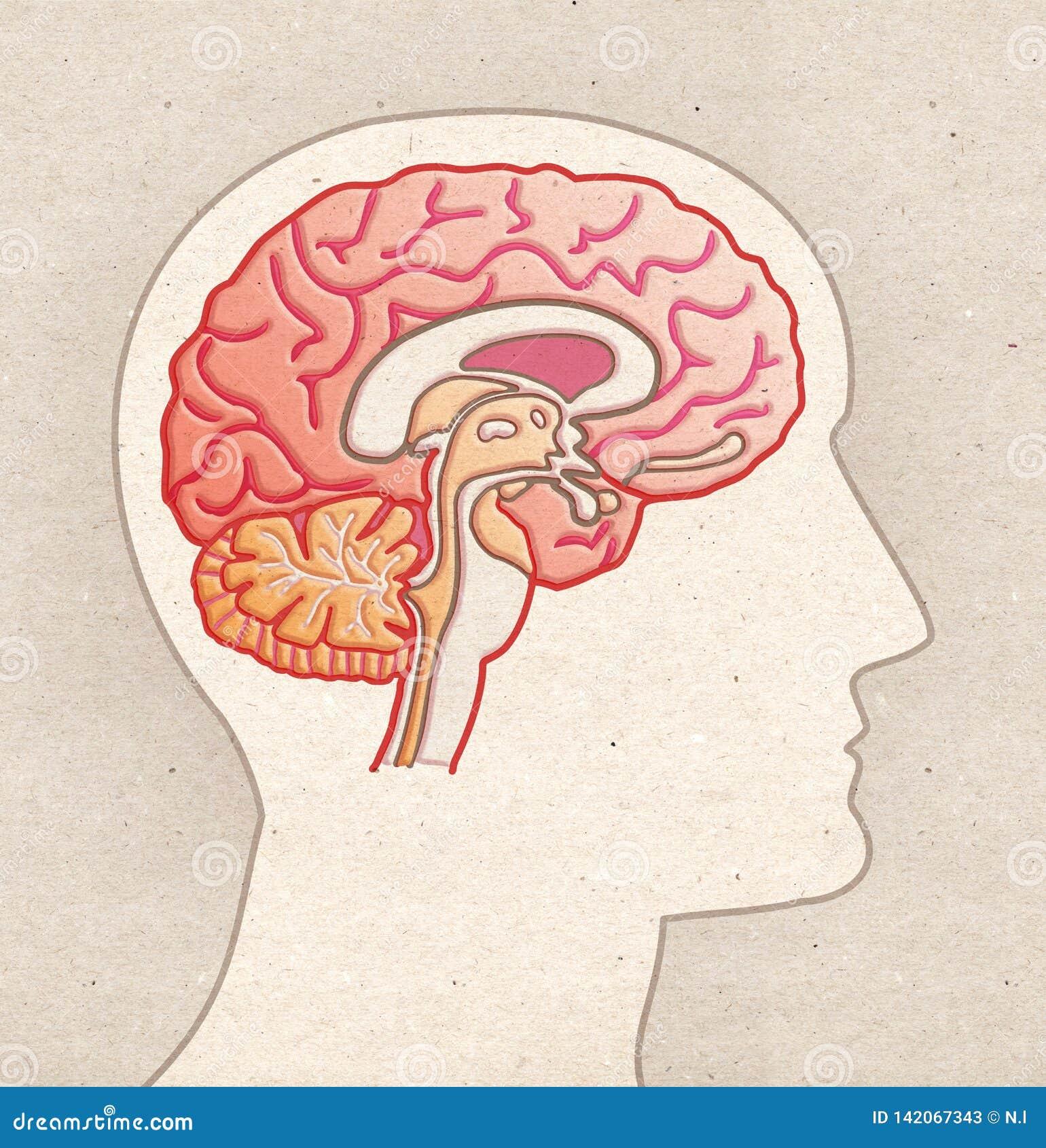 Menselijke Anatomietekening - Profielhoofd met BRAIN Sagittal-sectie