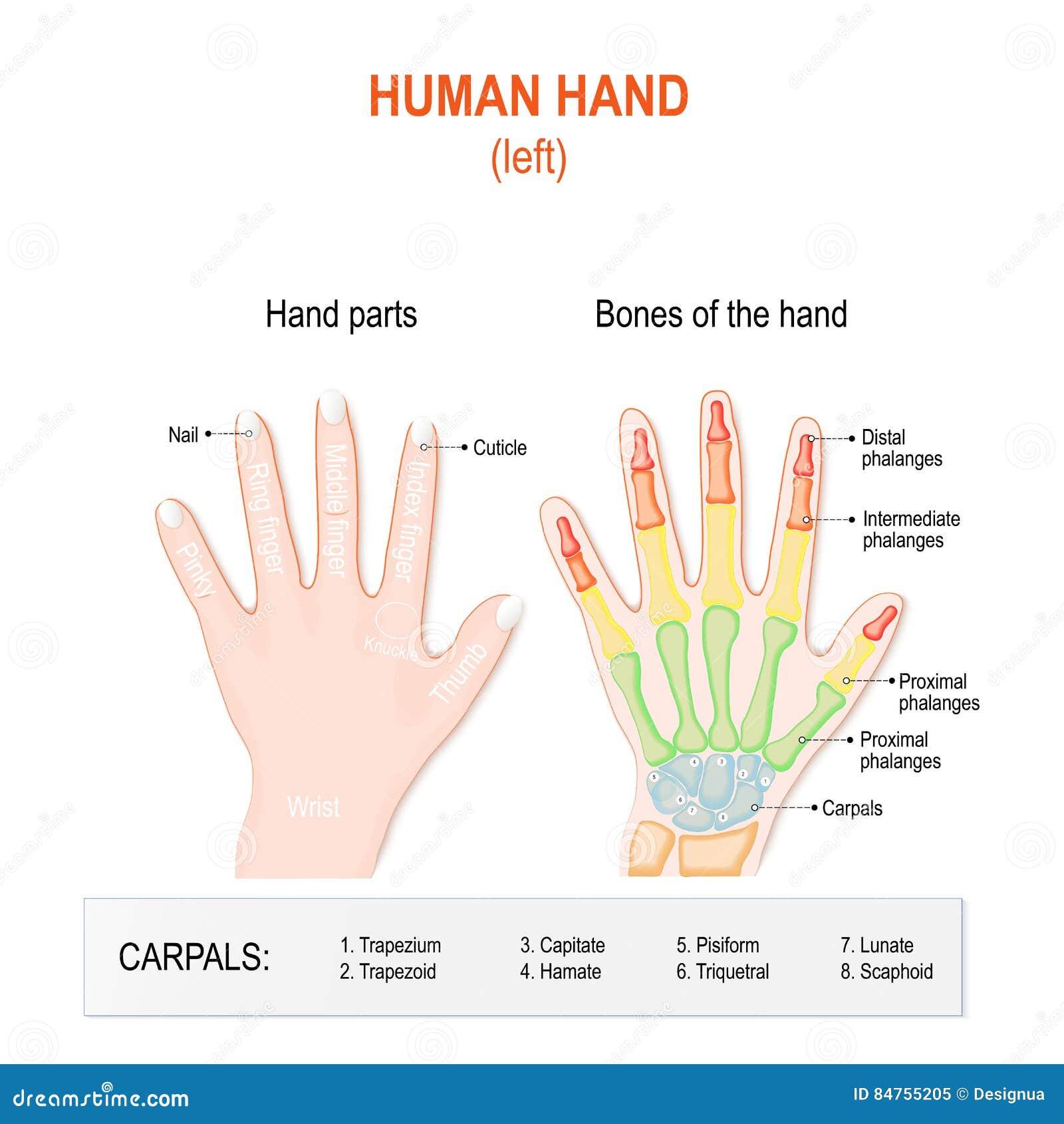 Menselijke Handdelen En Beenderen Vector Illustratie - Illustratie ...