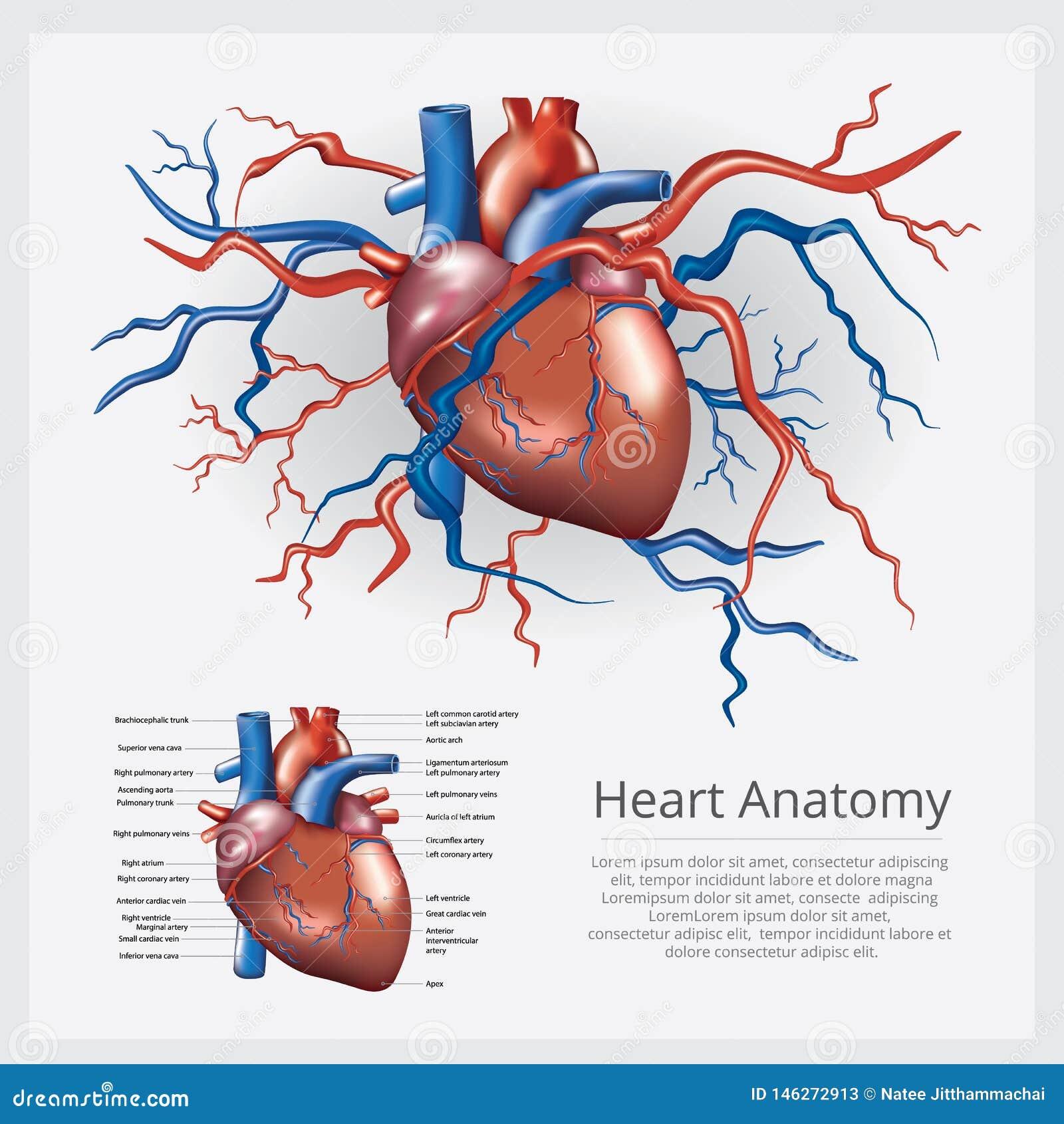Menselijke hartanatomie