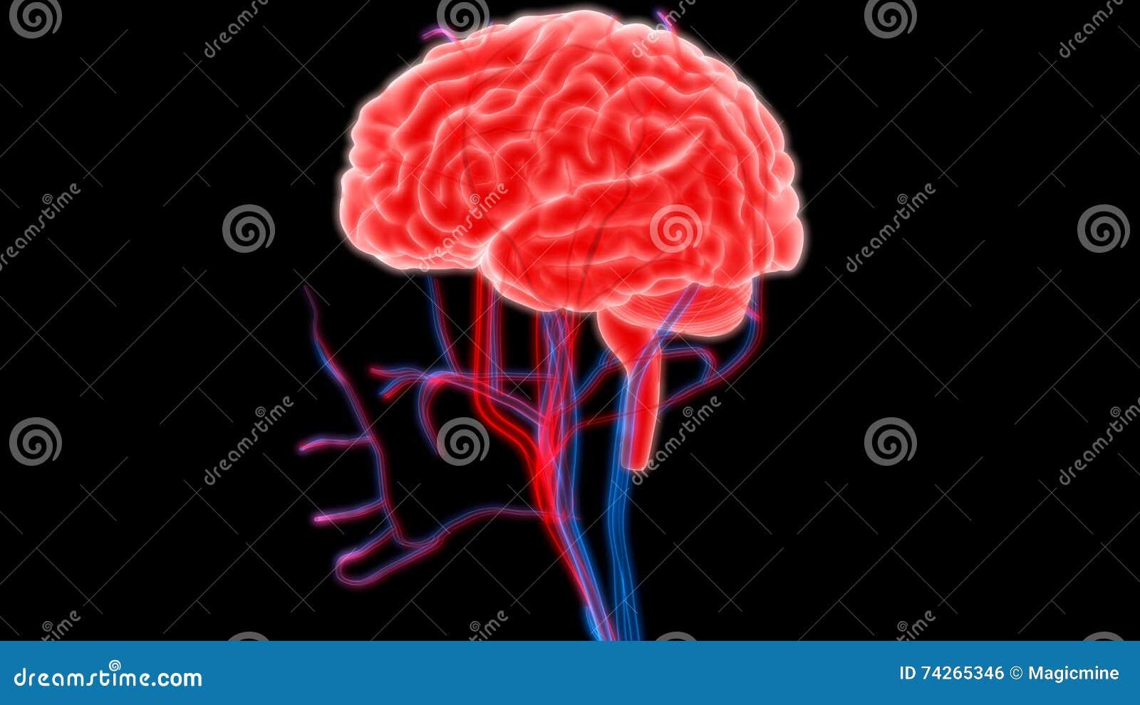 Menselijke Hersenen met Zenuwen, Aders en Slagadersanatomie