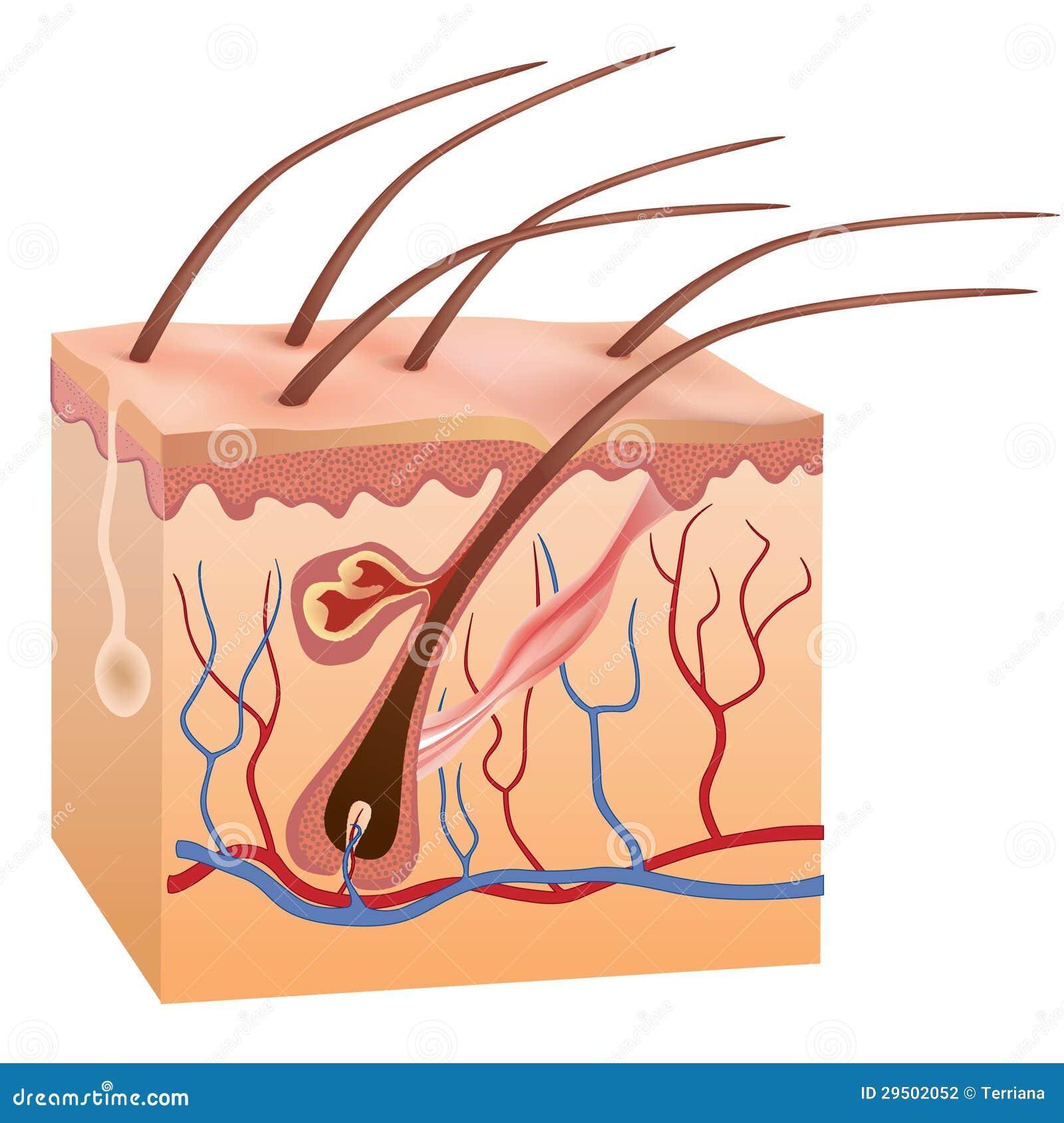 Menselijke huid en haarstructuur. Vector illustratie.