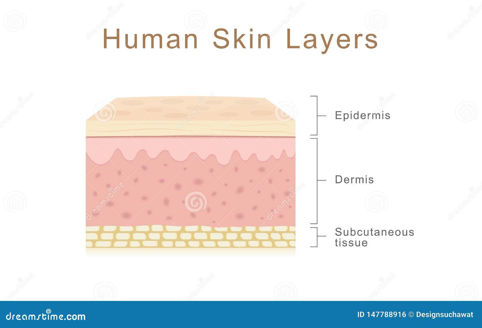 Menselijke huidlagen