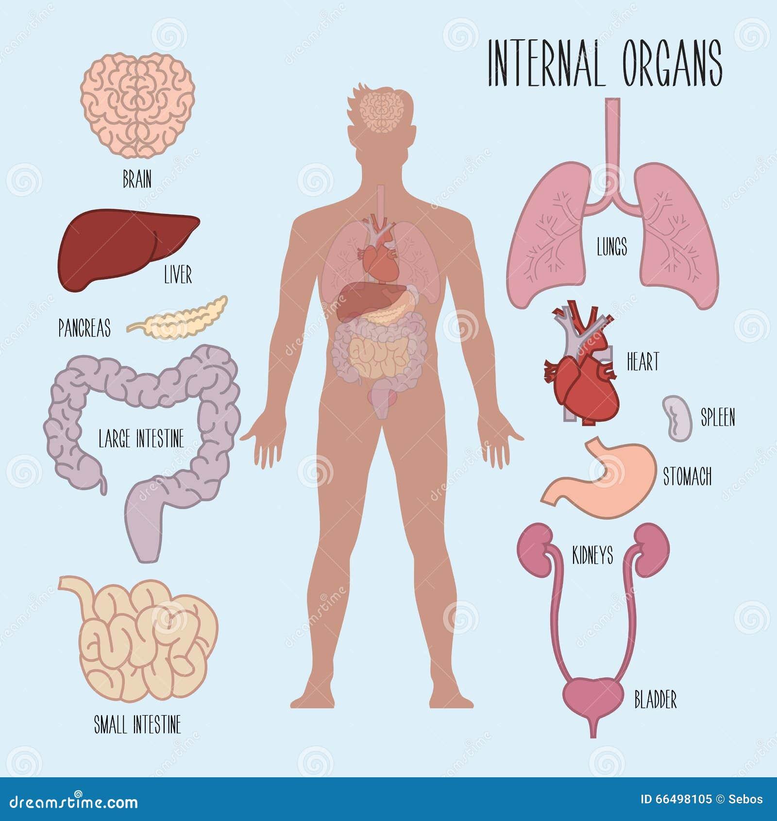 Menselijke Interne Organen Vector Illustratie Illustratie