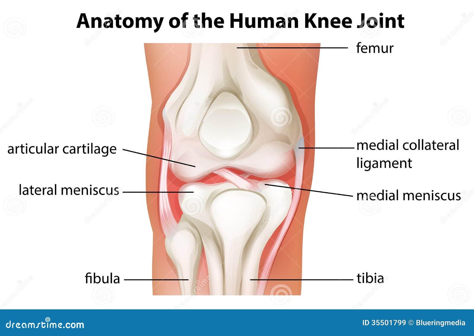 Menselijke Knie Gezamenlijke Anatomie Vector Illustratie ...