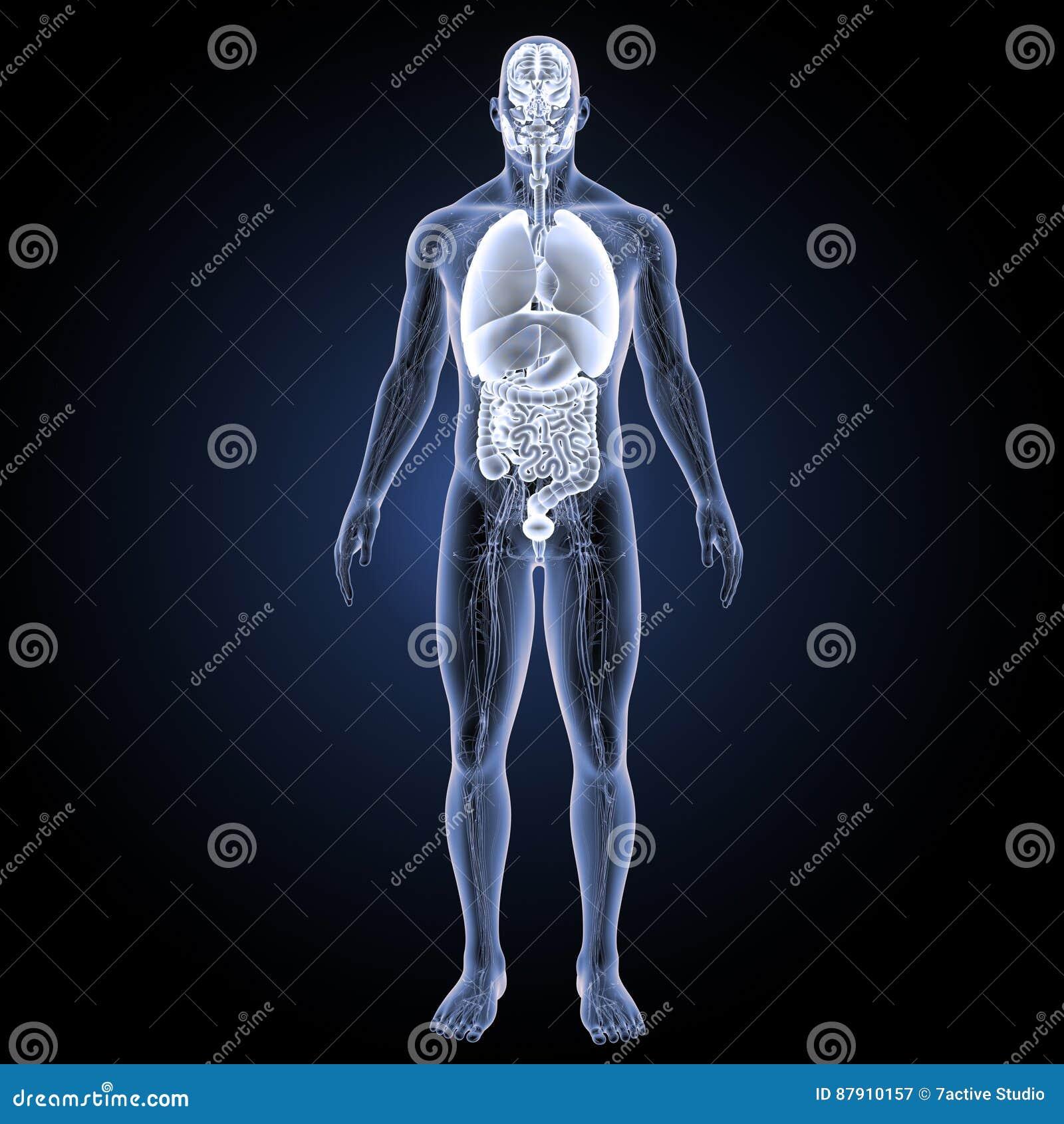 Menselijke organen met het vaatstelsel voorafgaande mening