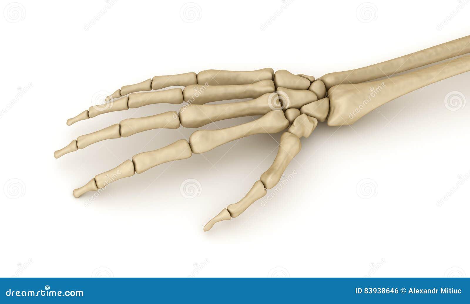 Menselijke pols skeletachtige anatomie