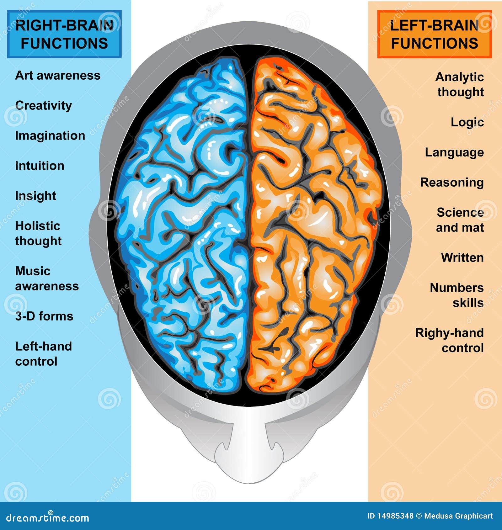 Menselijke verlaten hersenen en juiste functies