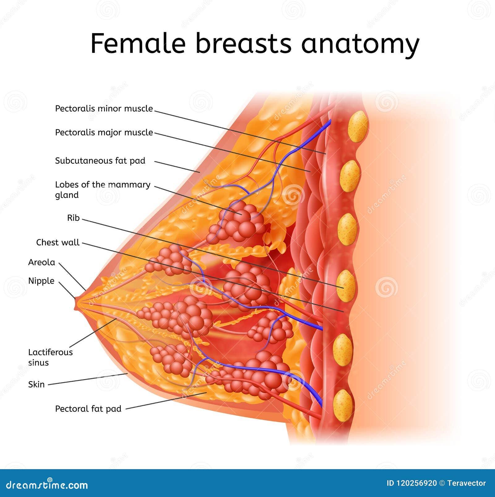 Menselijke Vrouwelijke de Anatomie Medische Vectorregeling van Brest