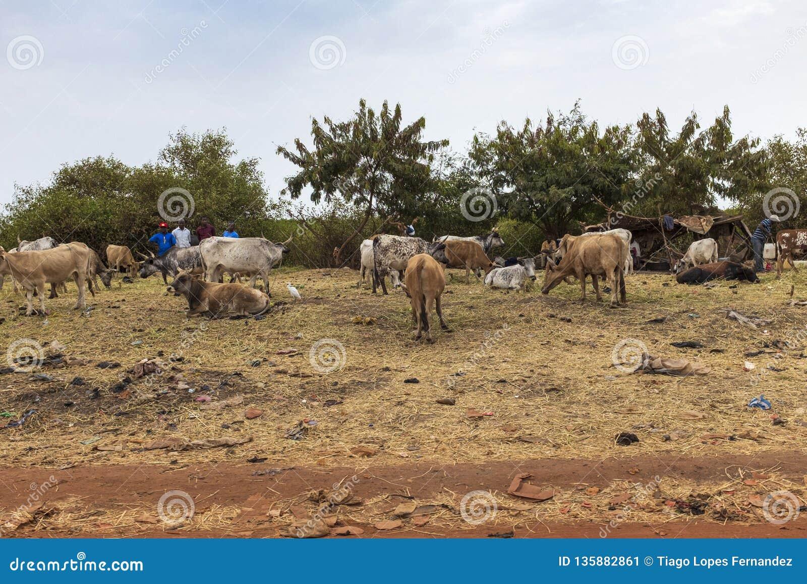 Mensen die vee op de rand van de stad van Bissau, in Guinea-Bissau verkopen