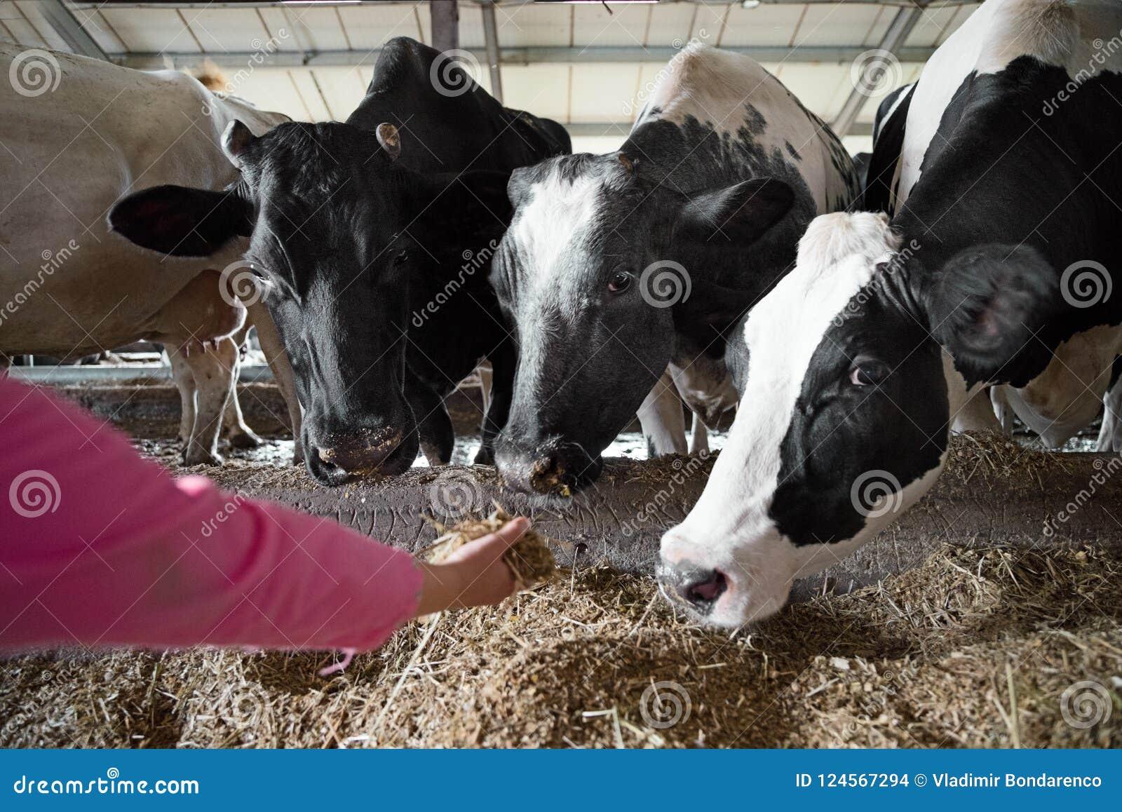 Mensen en veeteeltconcept - de voedende koe van de landbouwershand met hooi in koeiestal bij melkveehouderij