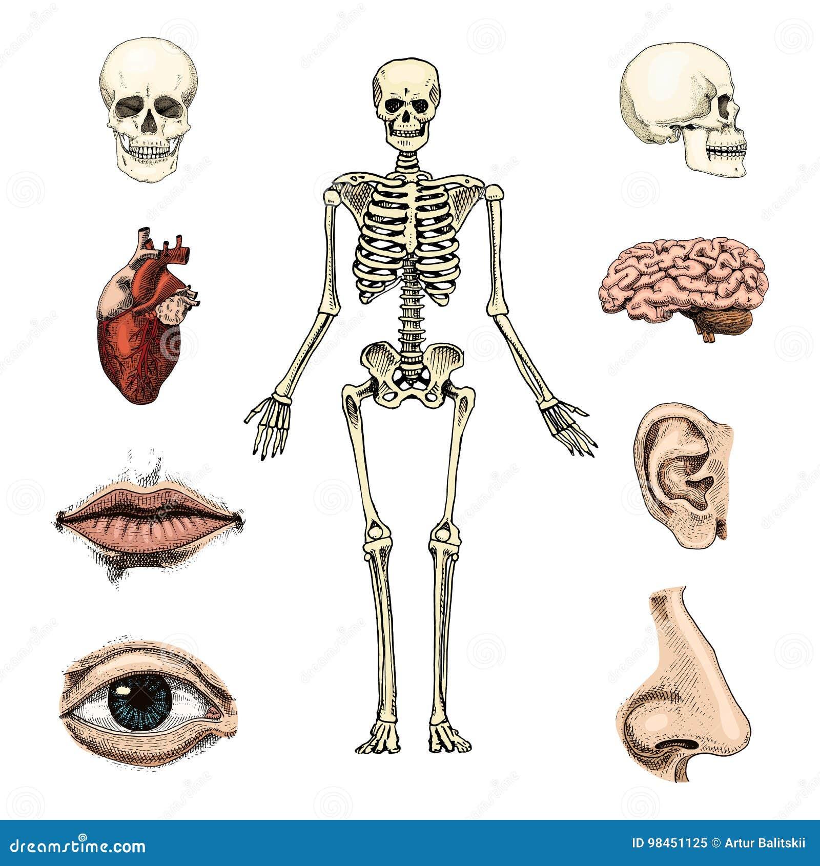 Charmant Farbatlas Der Anatomie Rohen Ideen - Anatomie Ideen ...