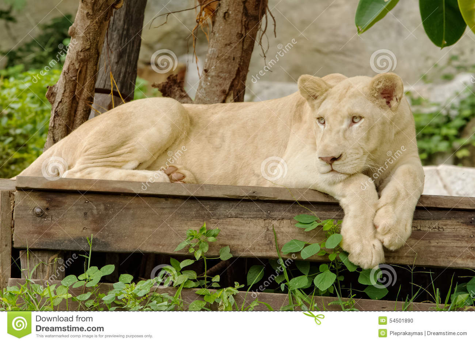 Mensonge blanc de lion