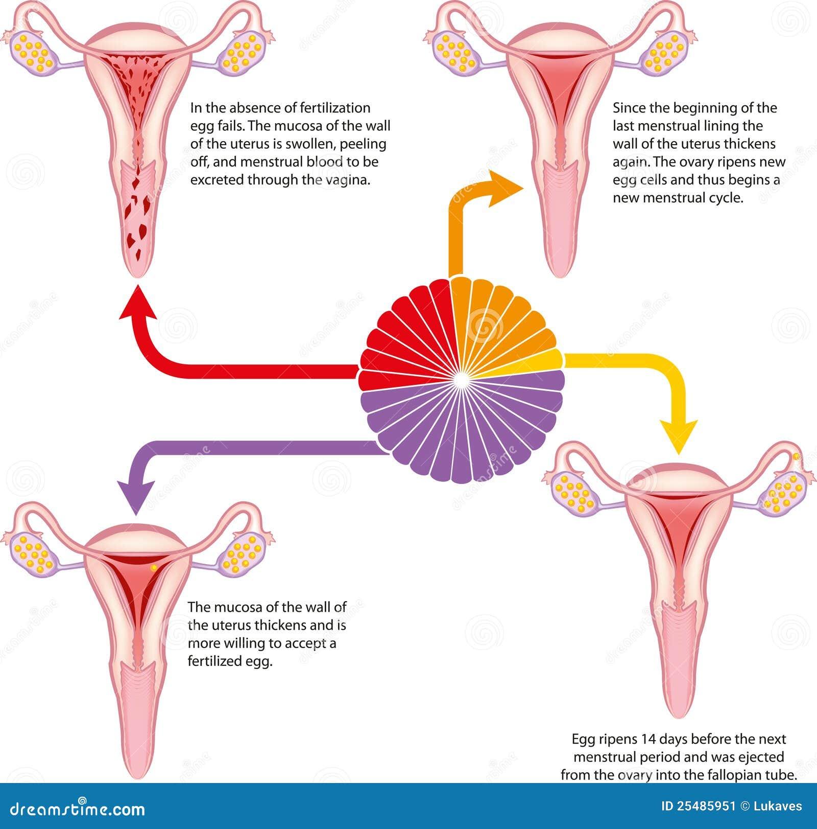 Menstrual Cycle Calendar Menstrual cycle