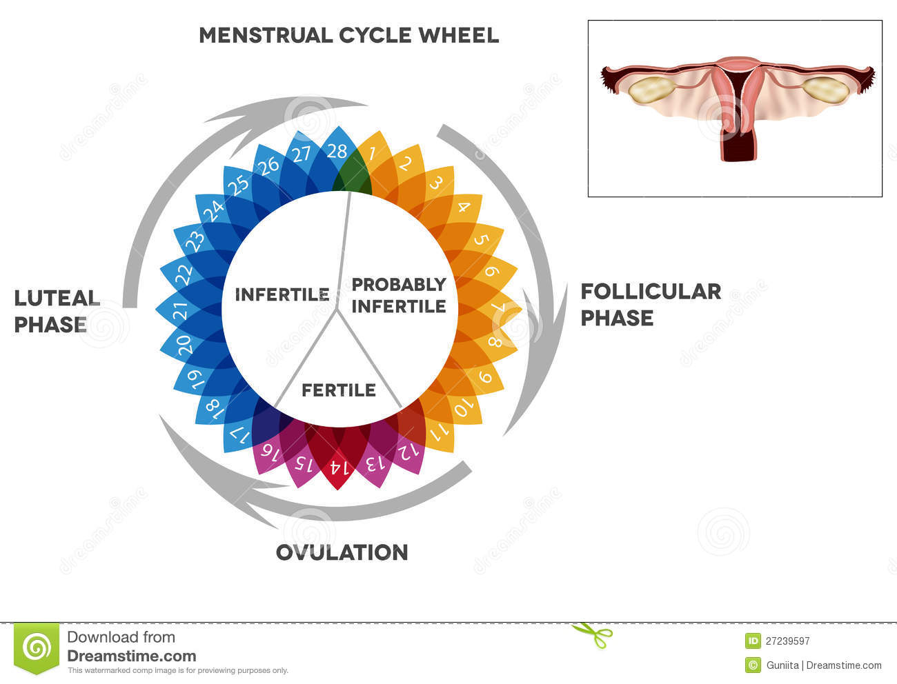 menstrual cycle calendar and reproductive system stock vector illustration of calendar cell