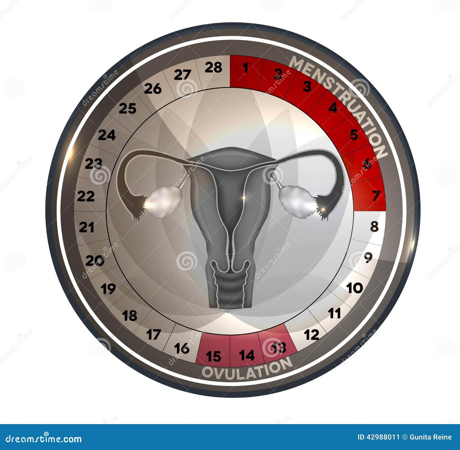 Menstrual cycle calendar reproductive system