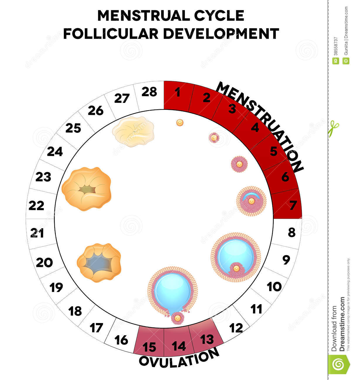 Menstrual cycle graphic, follicules