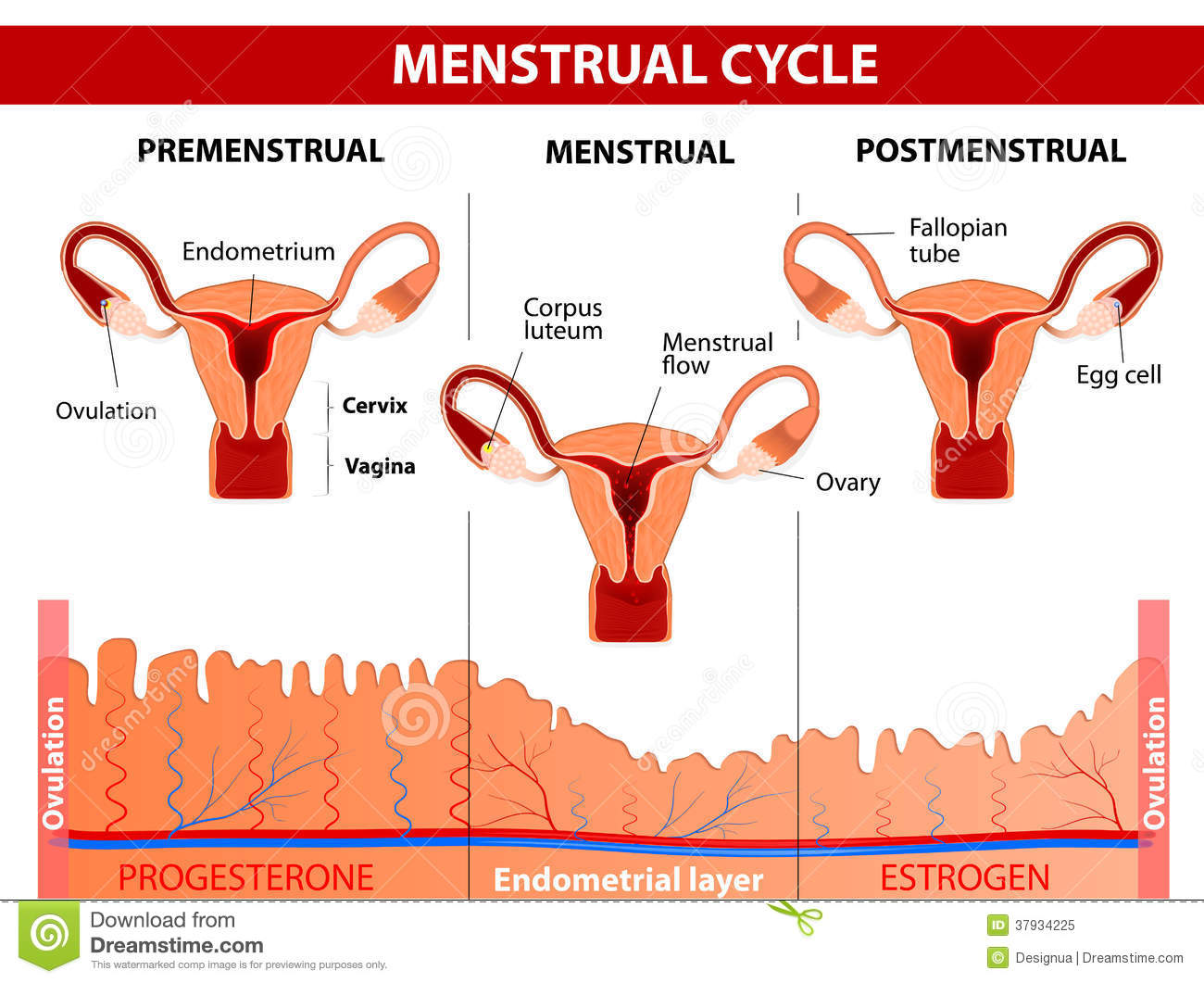 Menstrual cycle. Menstruation, Follicle phase, Ovulation and Corpus ...