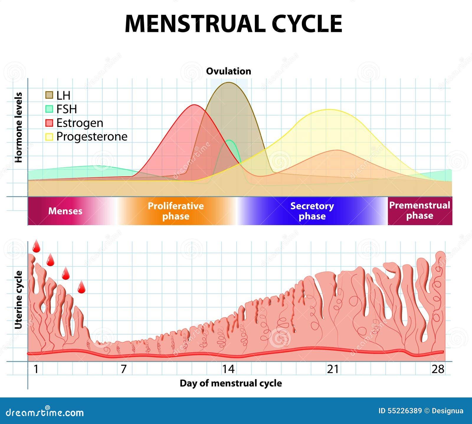 menstruele cyclus endometrium en hormoon vector. Black Bedroom Furniture Sets. Home Design Ideas