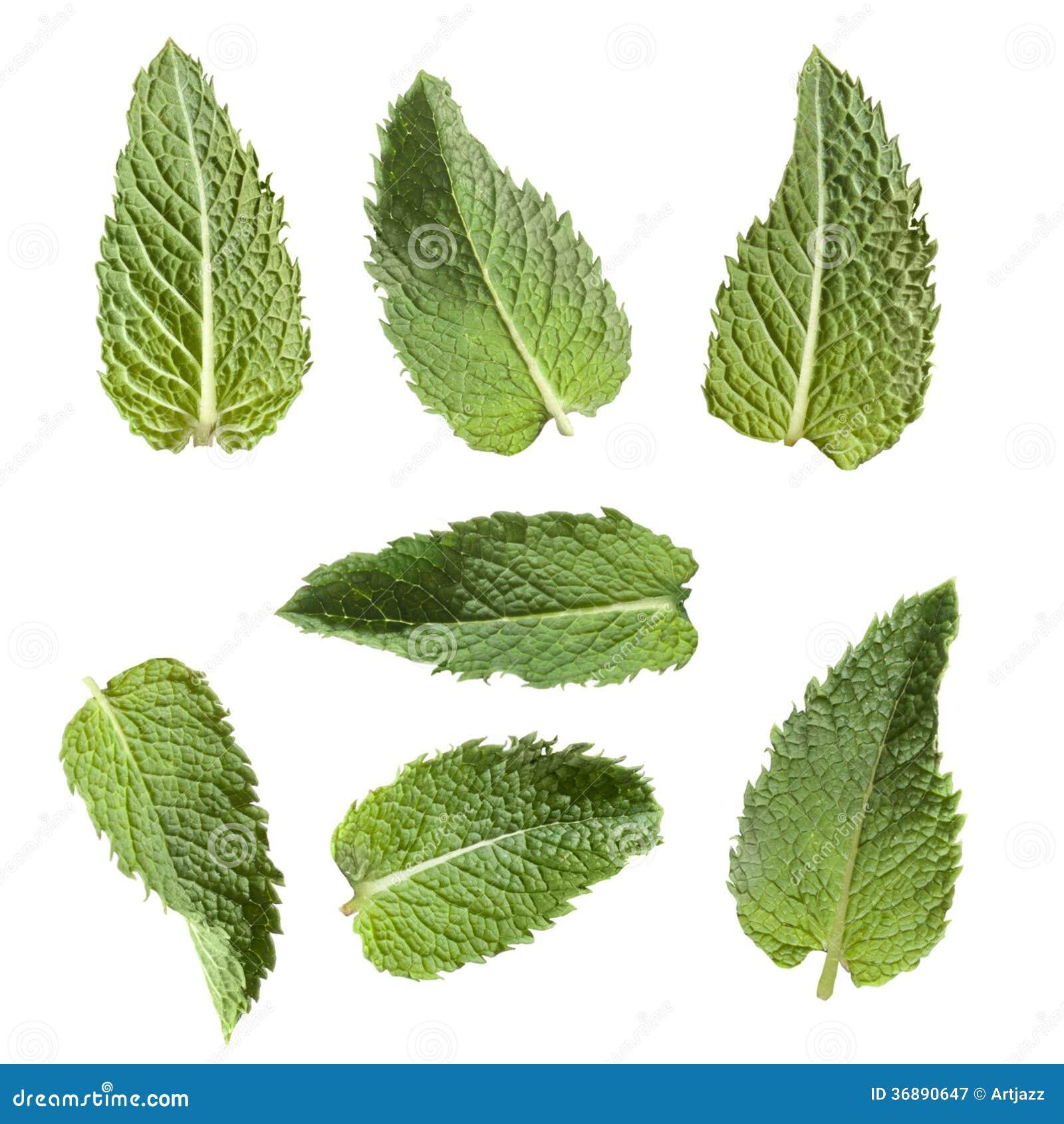 Download Menta Verde Isolata Su Bianco Immagine Stock - Immagine di sano, isolato: 36890647