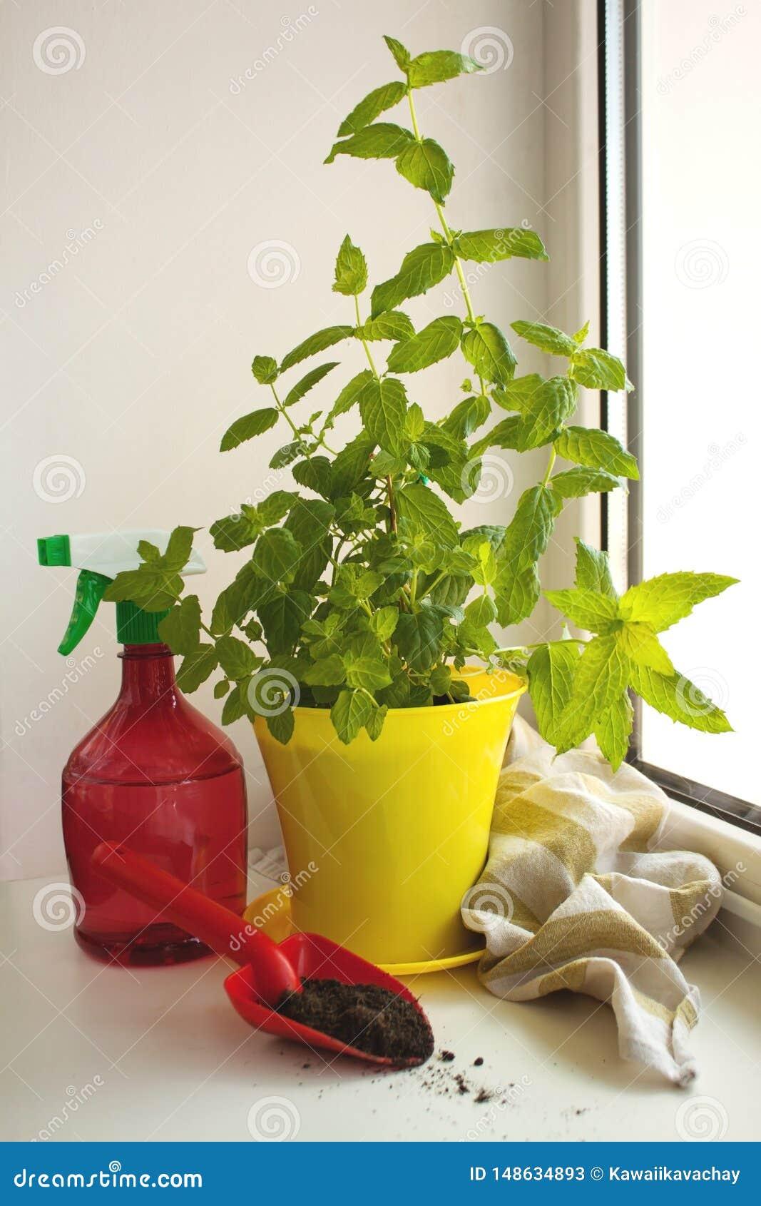 Menthe poivr?e organique ? la maison, piperita de Mentha, sur un filon-couche de fen?tre Pot jaune, bouteille rouge de jet et pel