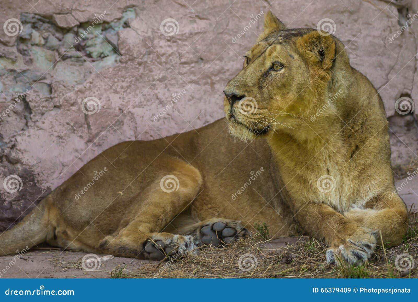 Mentira femenina del león africano debajo de roca