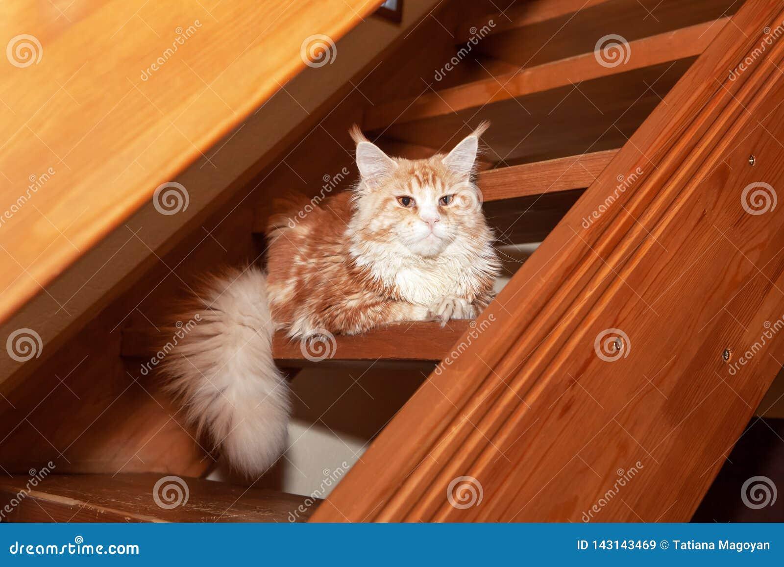 Mentiras vermelhas bonitos do gato de Maine Coon em etapas de escadas de madeira na casa de campo Animais de estimação raros do c