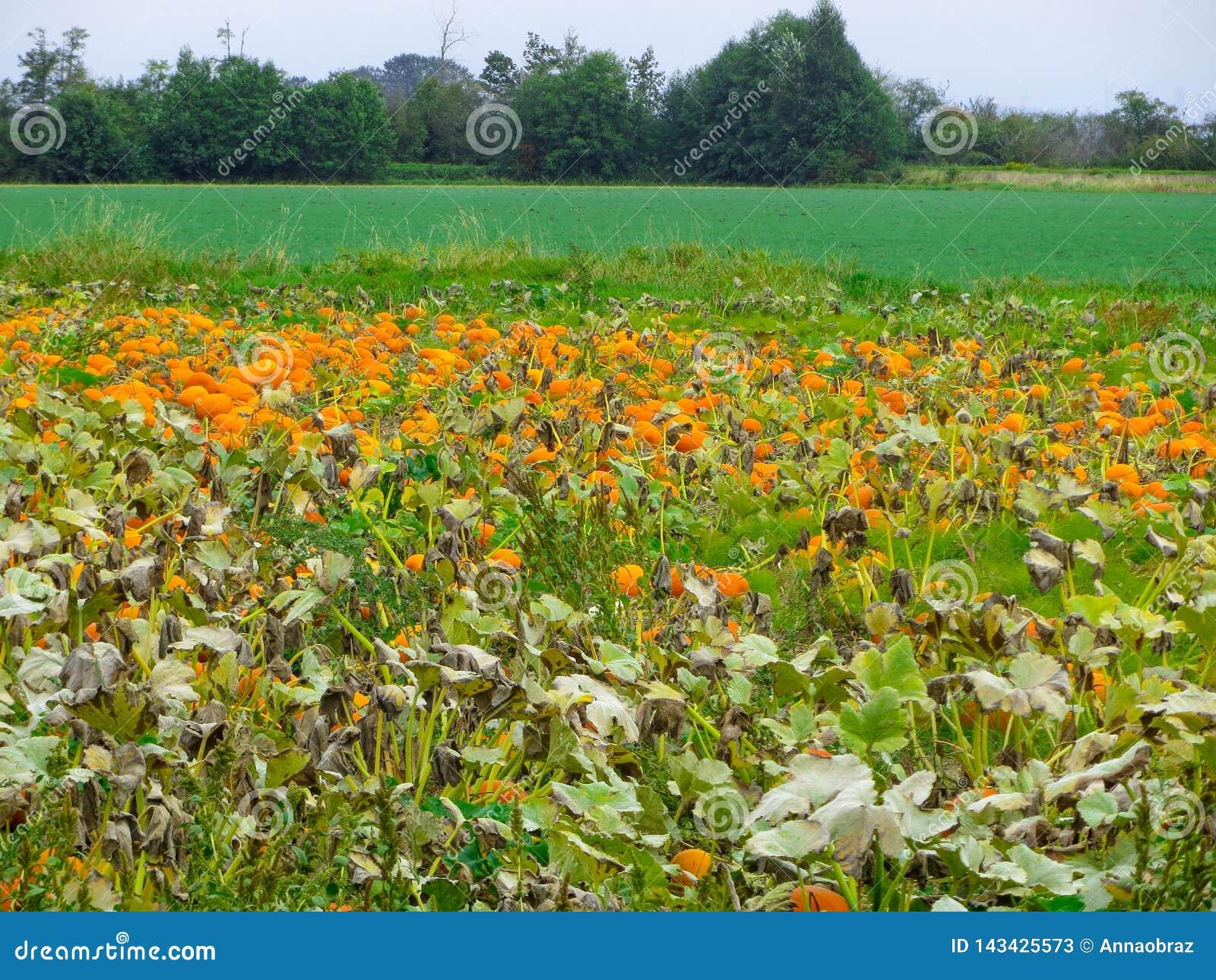 Meny bright pumpkin growing in a farmer`s garden. Nature