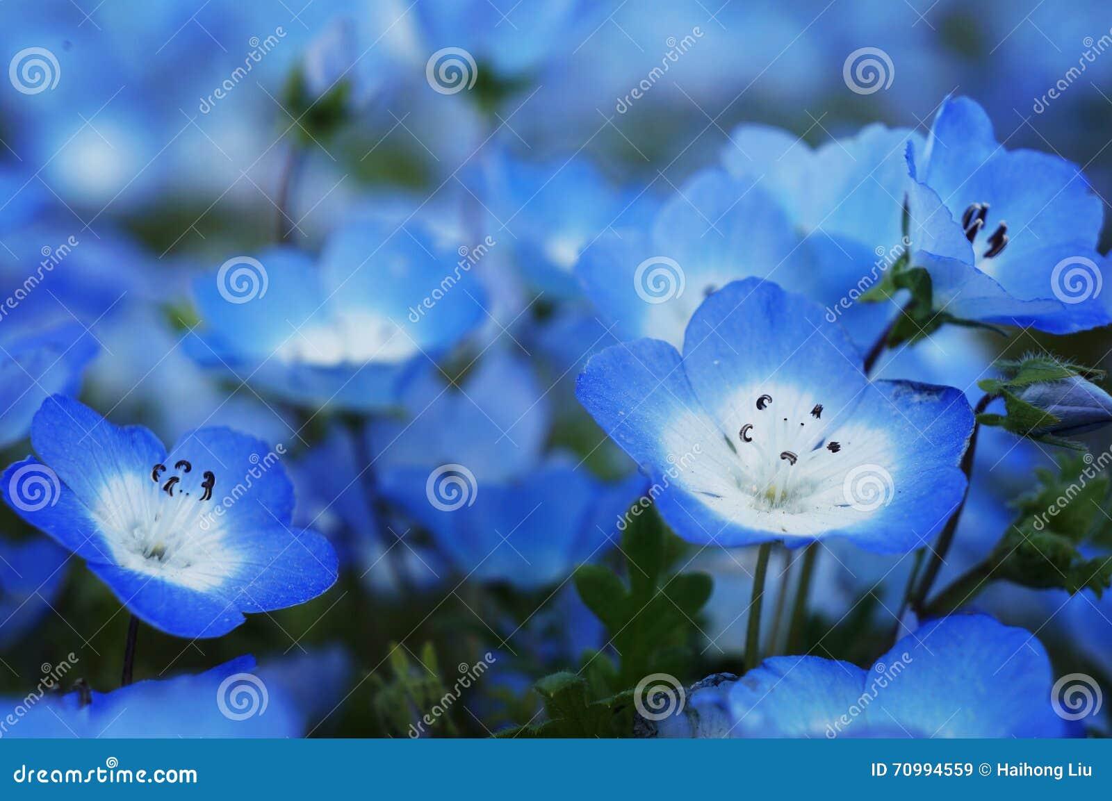 Menziesii de Nemophila - ojos de azules cielos