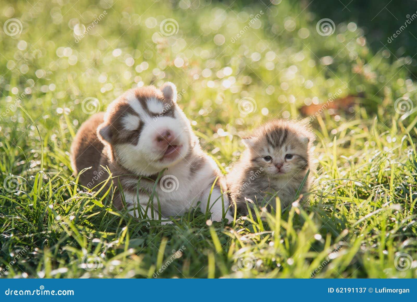 Menzogne sveglia del gattino del cucciolo e del soriano del husky siberiano