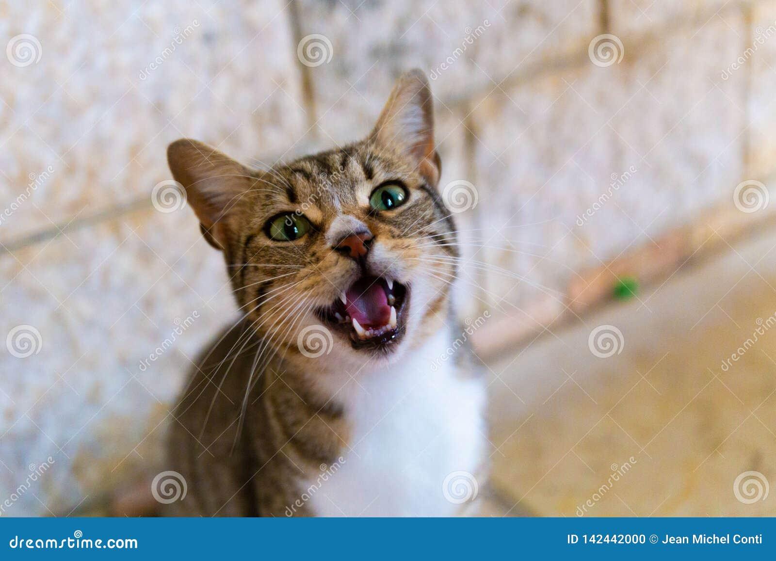 Meowing кот в Назарете Израиле