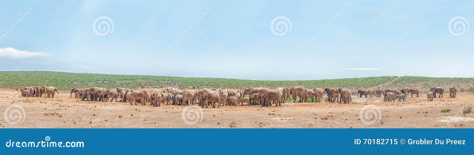 Mer än 200 elefanter som väntar för att dricka