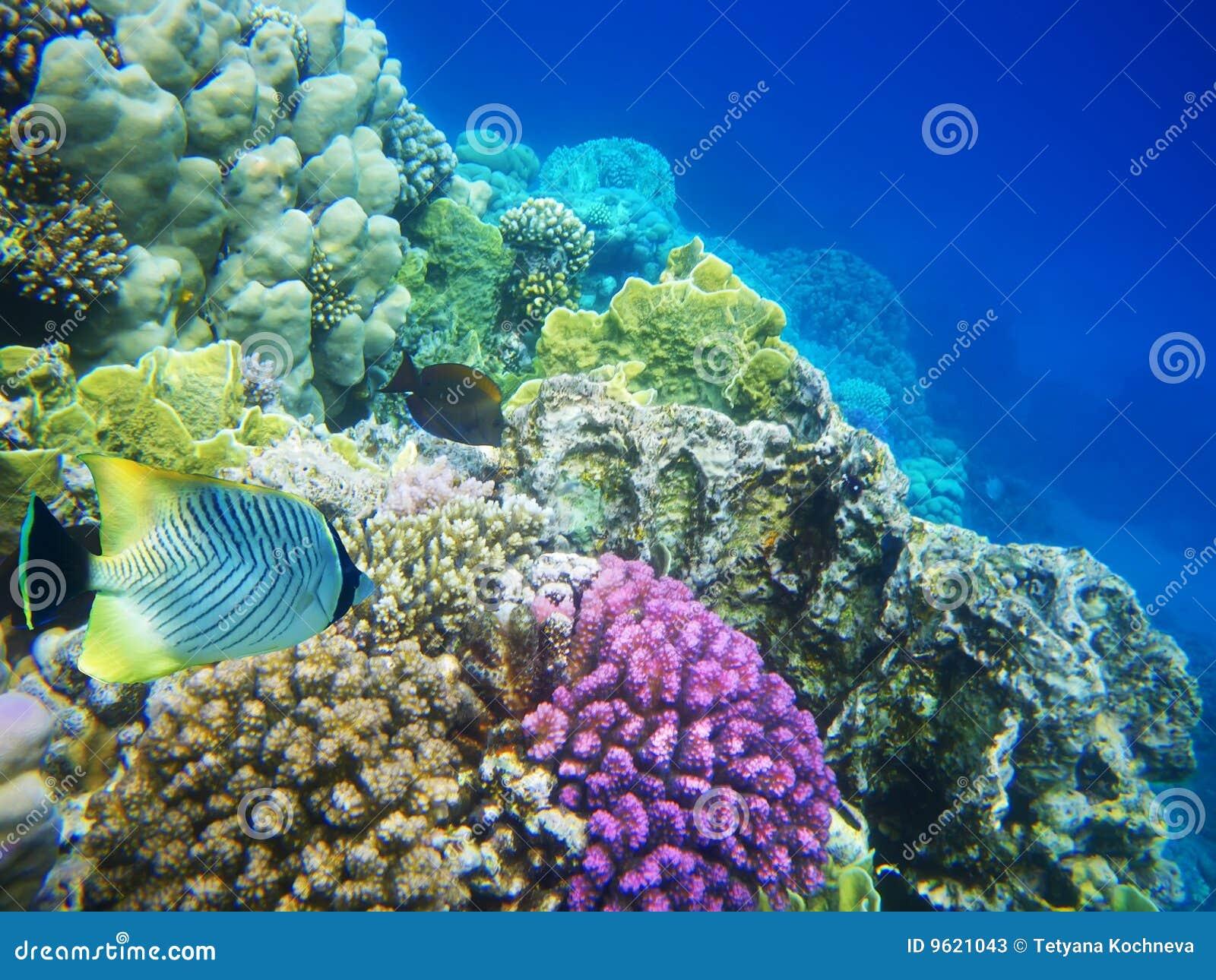 Mer rouge dure de corail de récif