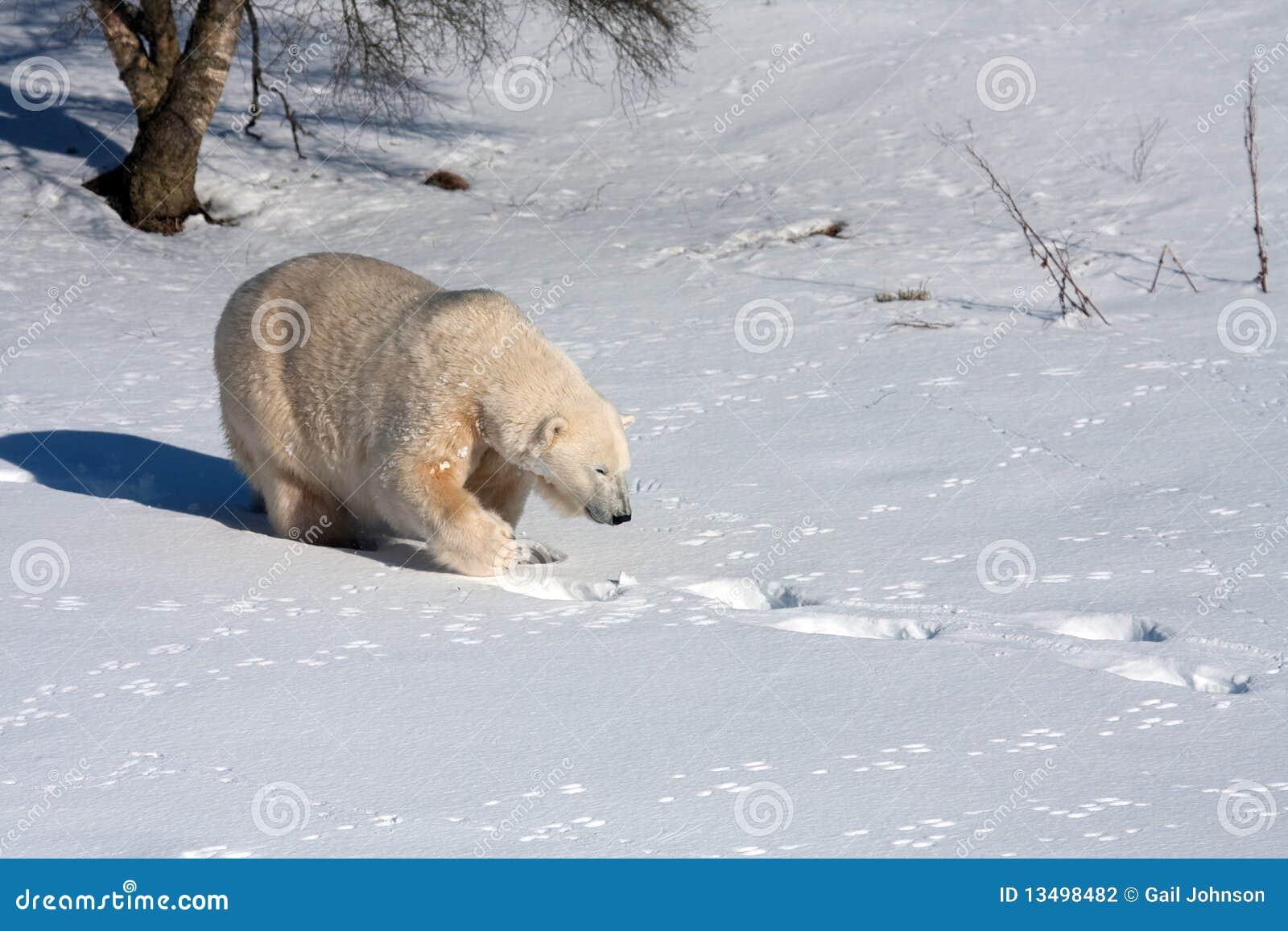 Mercedes the polar bear stock photography image 13498482 for Mercedes benz bear