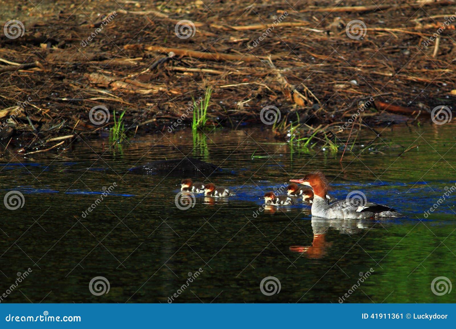 Merganso comum no pantanal