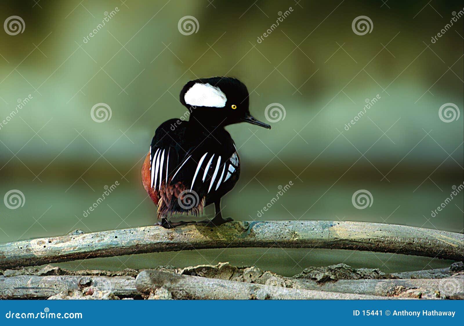 Download Mergo incappucciato immagine stock. Immagine di acqua, uccello - 15441