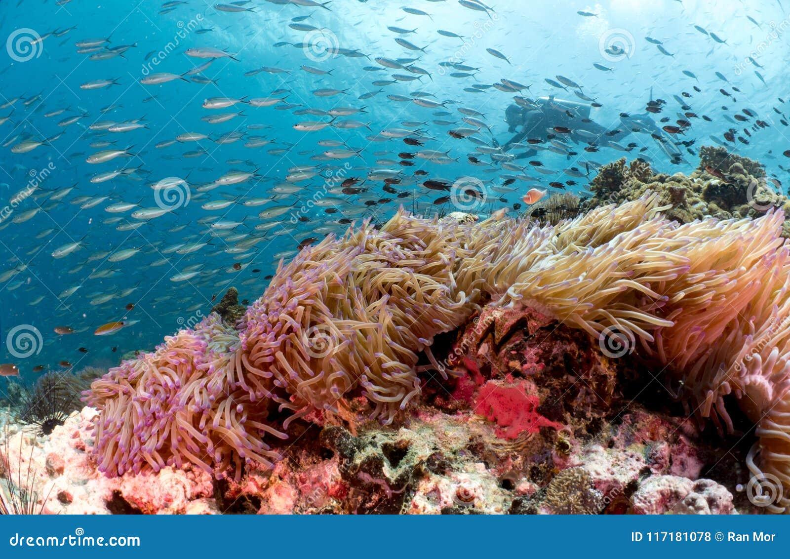 Mergulhador de mergulhador atrás do recife de corais e da anêmona bonitos