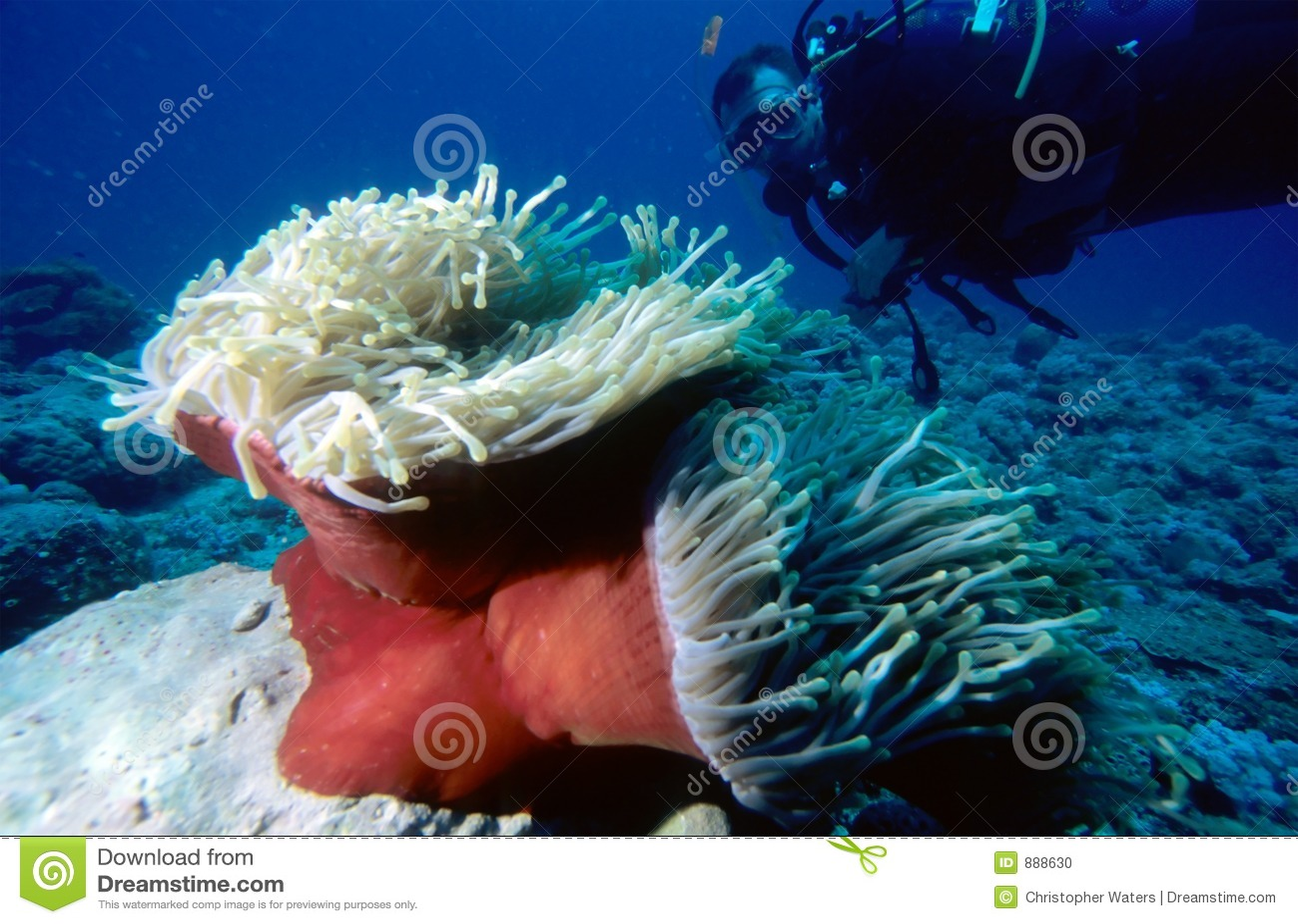 Mergulhador e Anemone