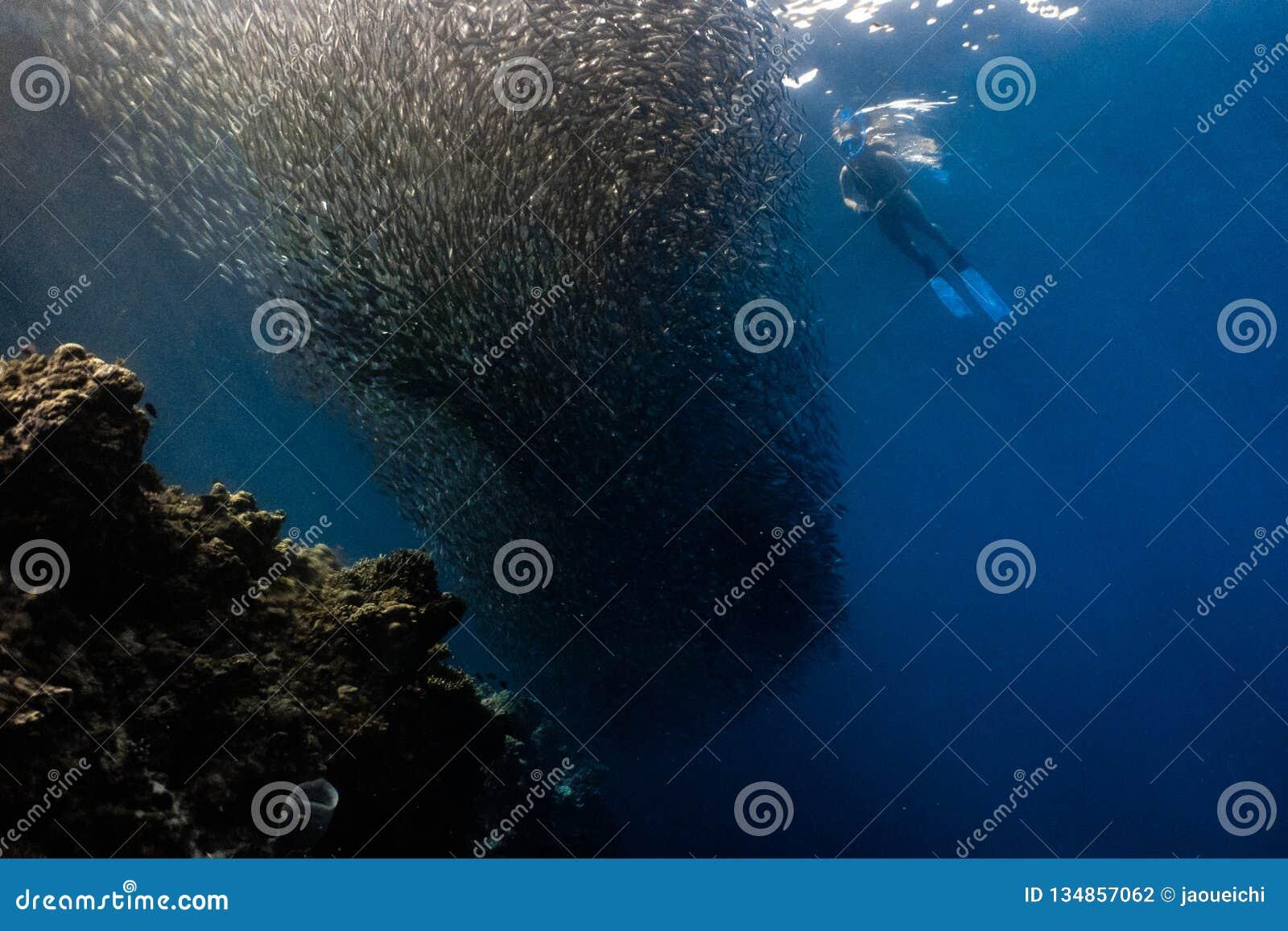 Mergulhar com escola das sardinhas