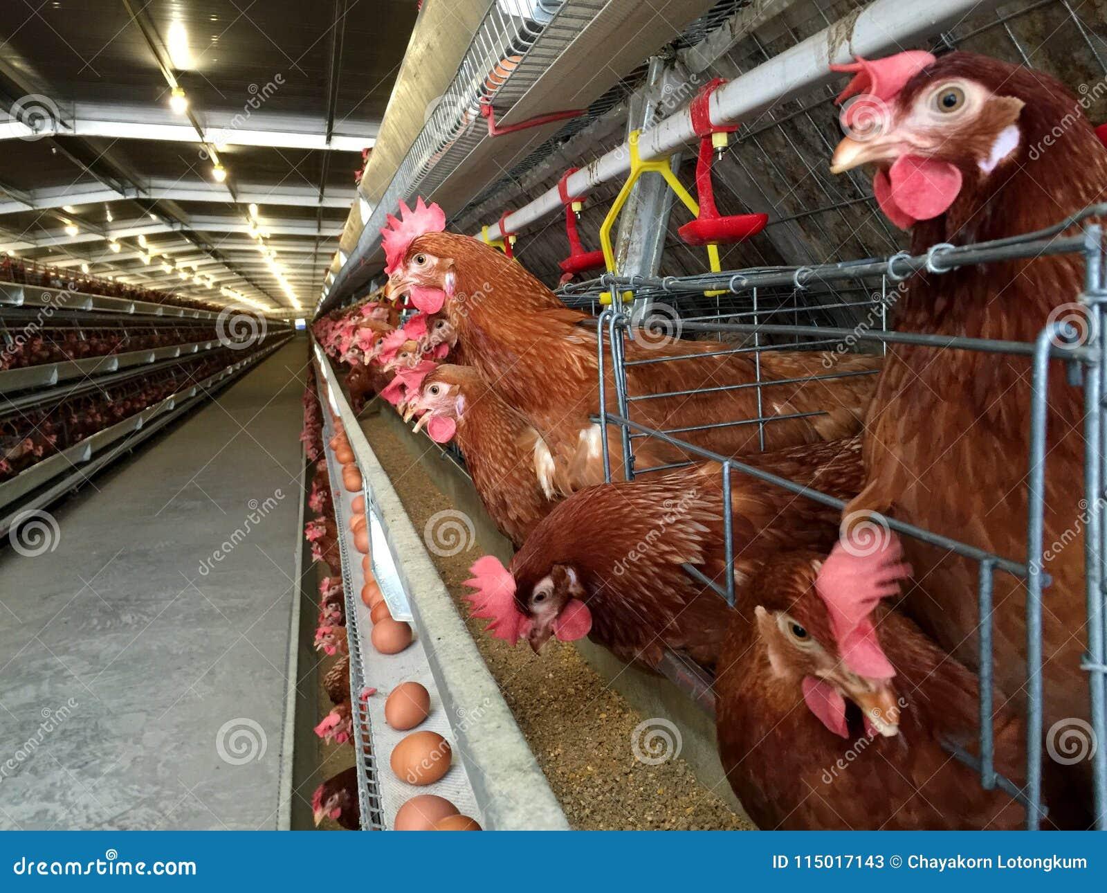 Mergulhe o alojamento da exploração agrícola, a incubação do ovo ou os ovos da galinha