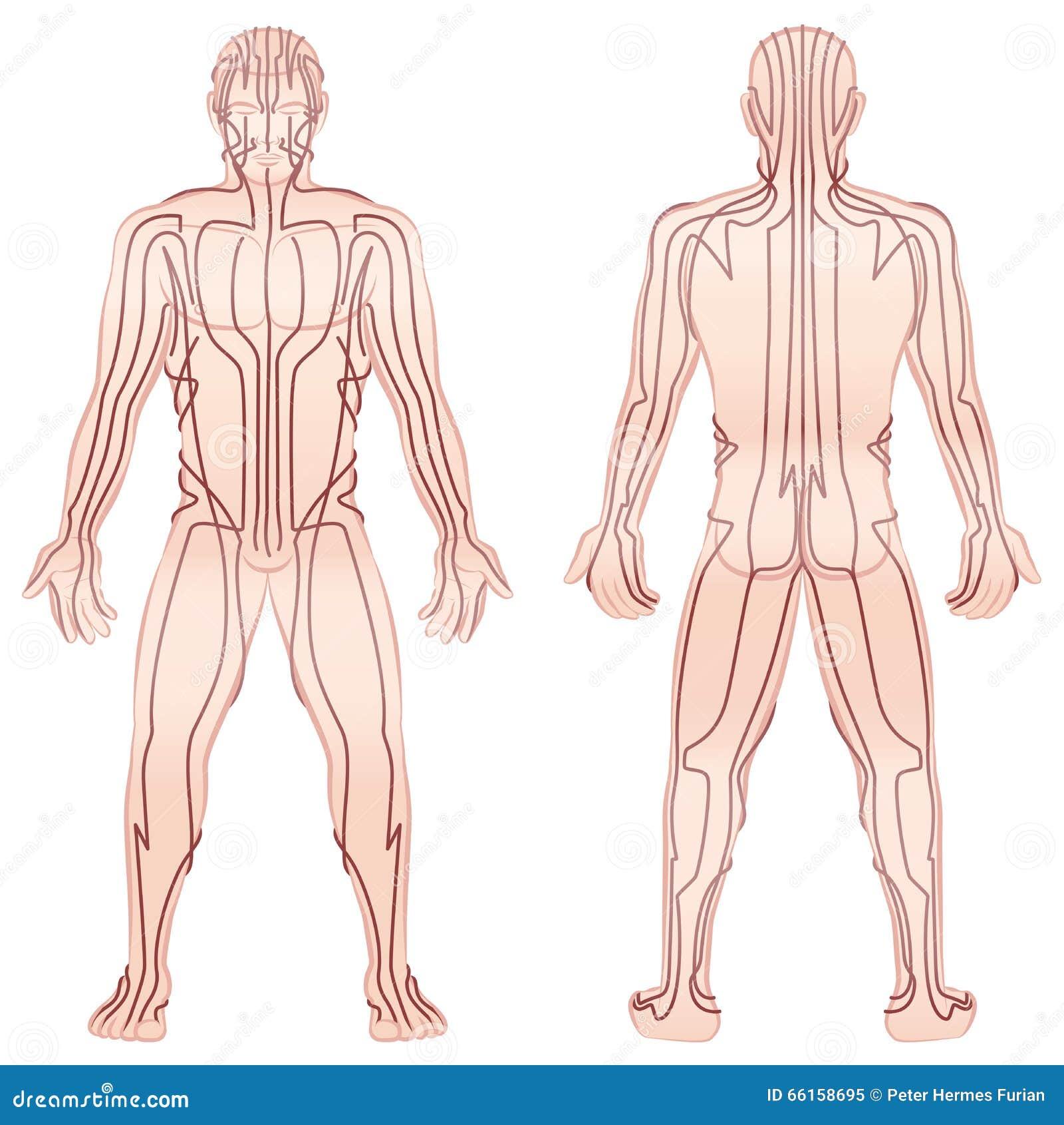 Ziemlich Weiblicher Diagramm Körper Zeitgenössisch - Menschliche ...
